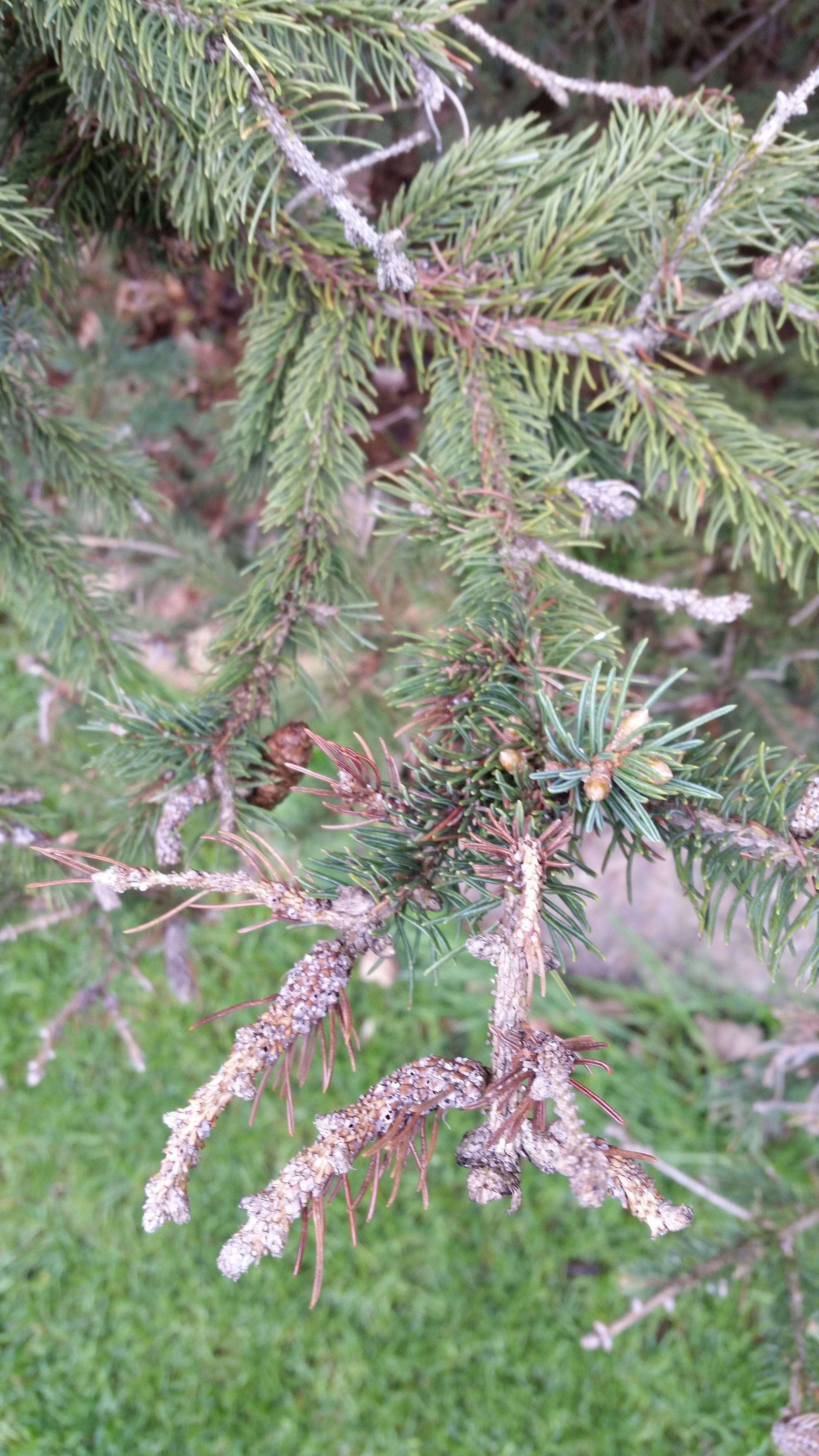 Spruce gall midges causing deformity at branch tips