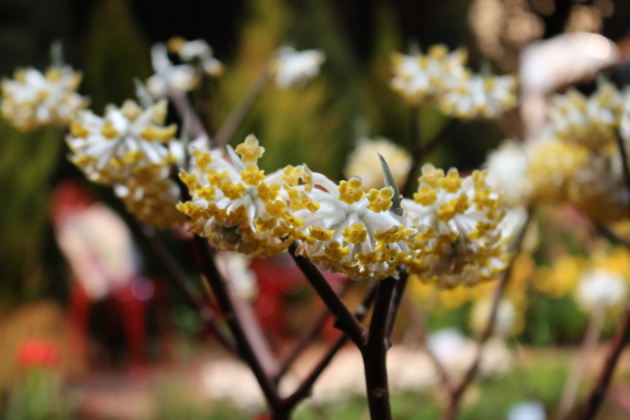 Edgeworthia   - as featured in the Victory Garden - 2017 Seattle Northwest Flower & Garden Show.   This was a show stopper.  By far the most popular plant and most inquired about in the Dakara Garden this year.   For more detailed information on this plant click  here .