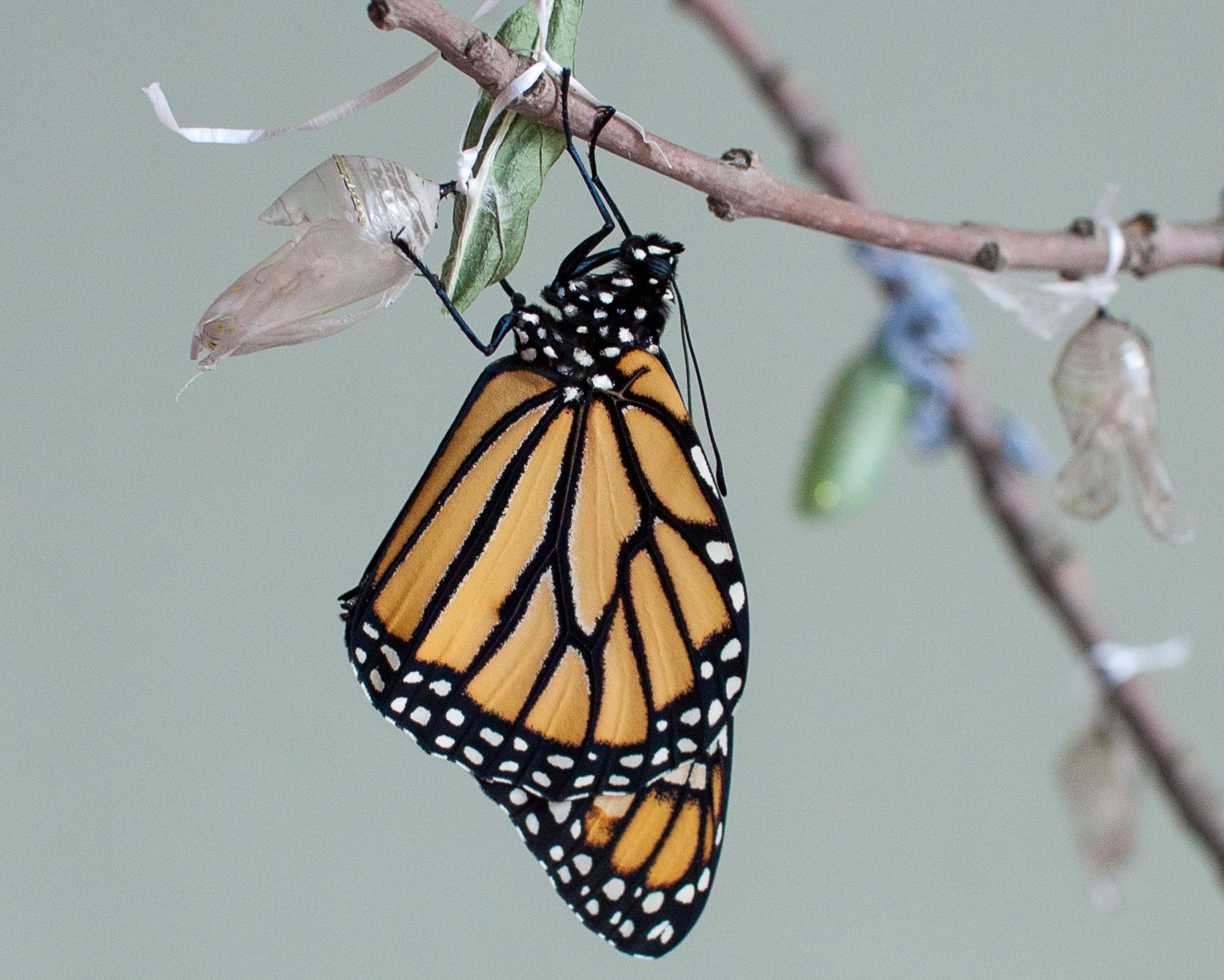 A beautiful male monarch -