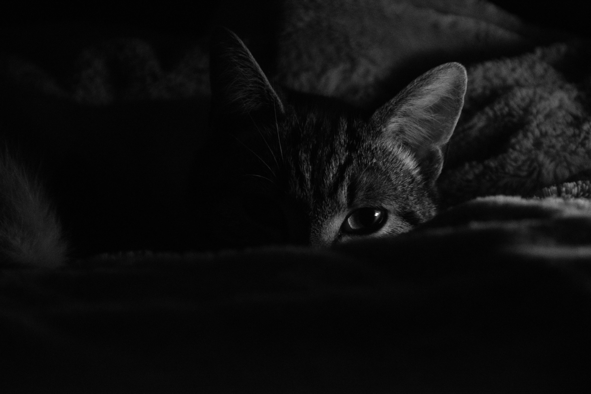cat photography, pet portrait, pet portraiture, cat, pet photo, cat photographer