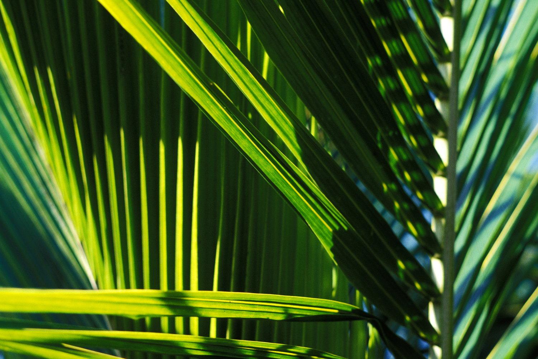 palm leaves  sanibel / florida   buy here