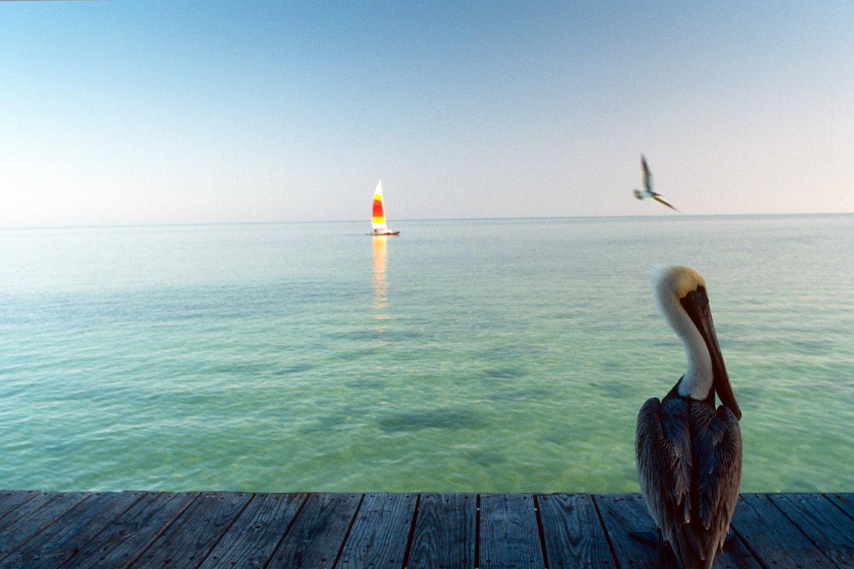 pelican   islamorada / florida keys   buy here