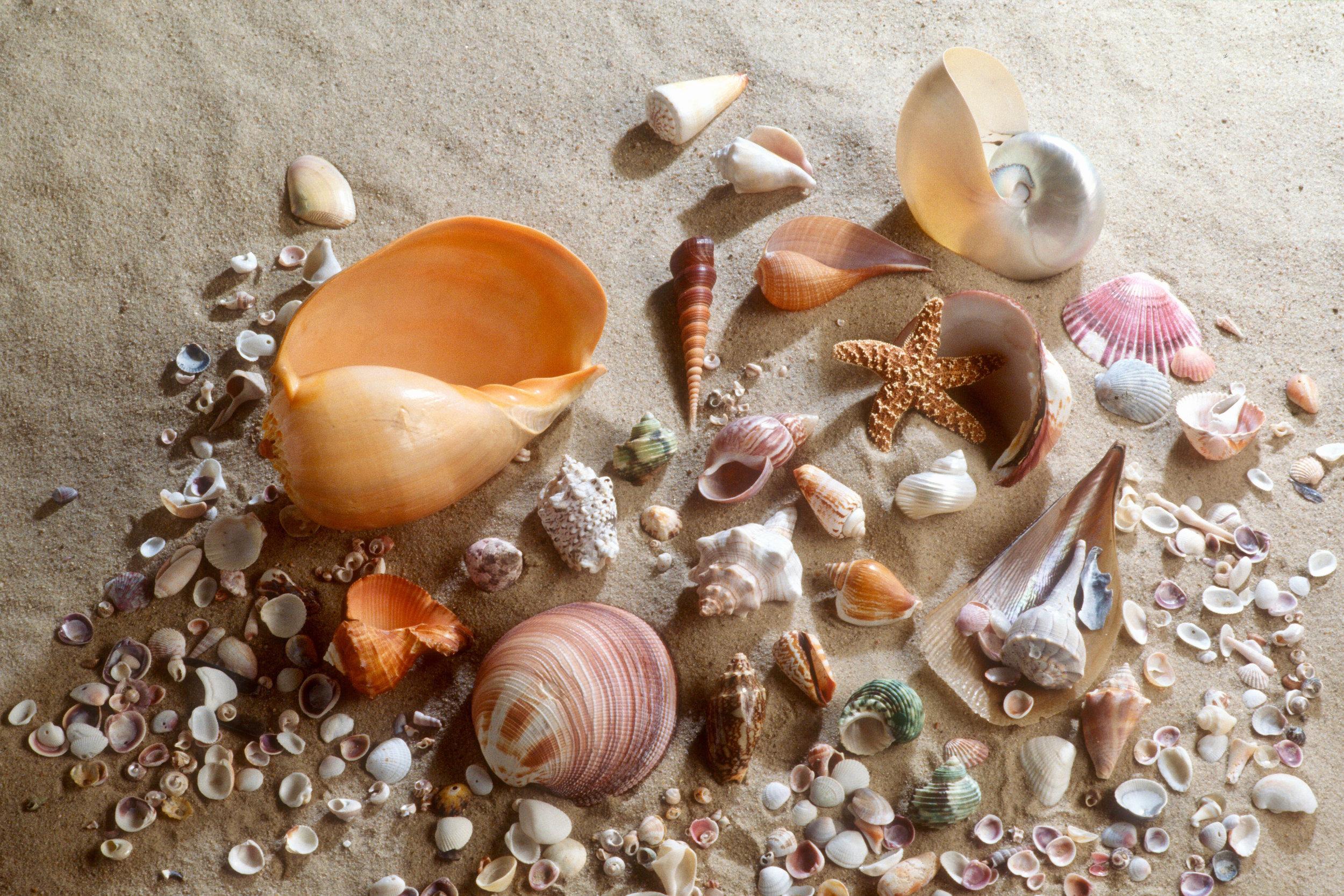 shells  sanibel beach / florida