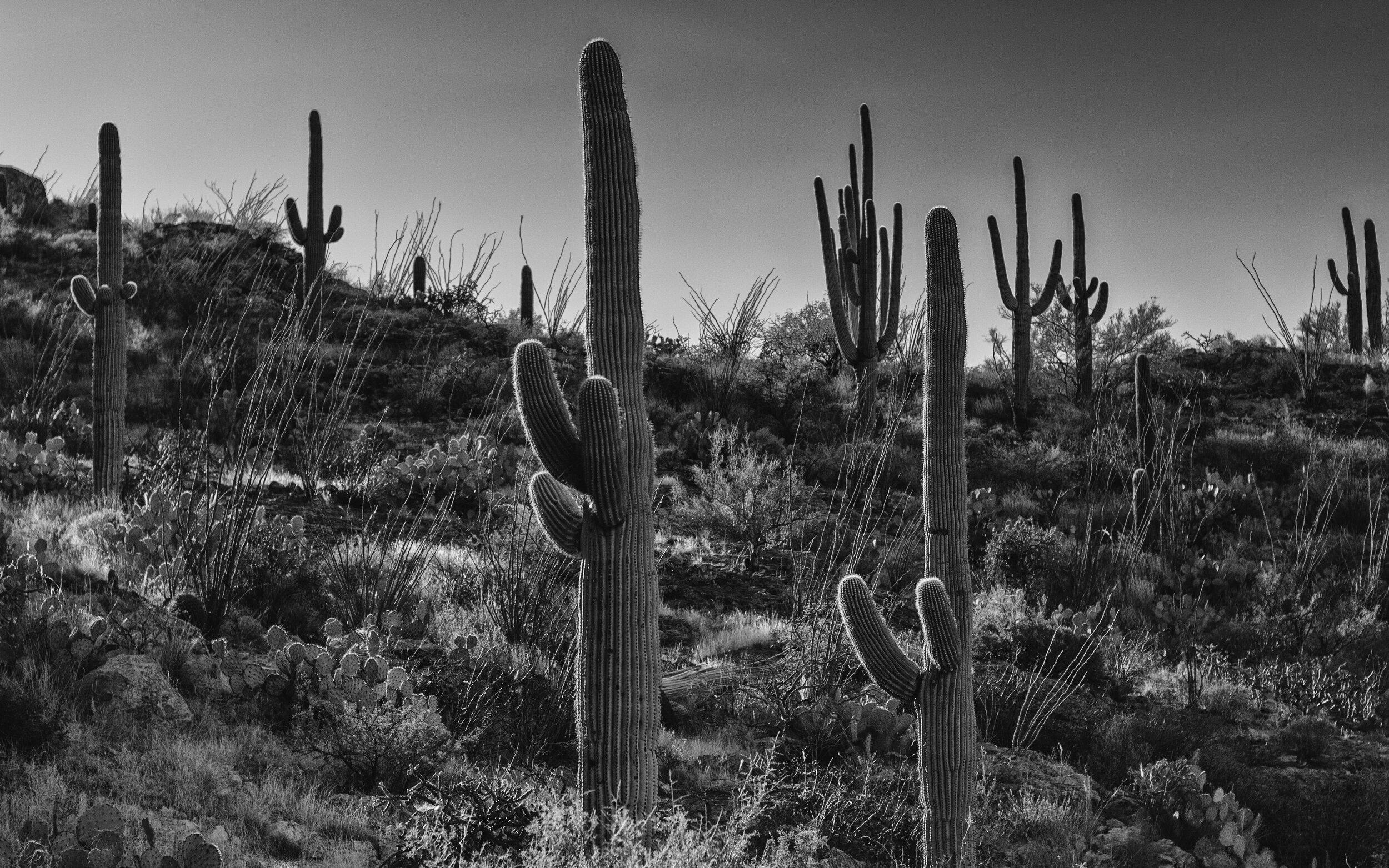 Cacti_1.jpg
