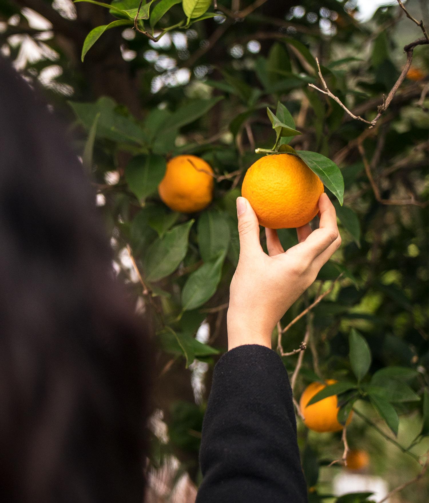 Orange Season in Croatia
