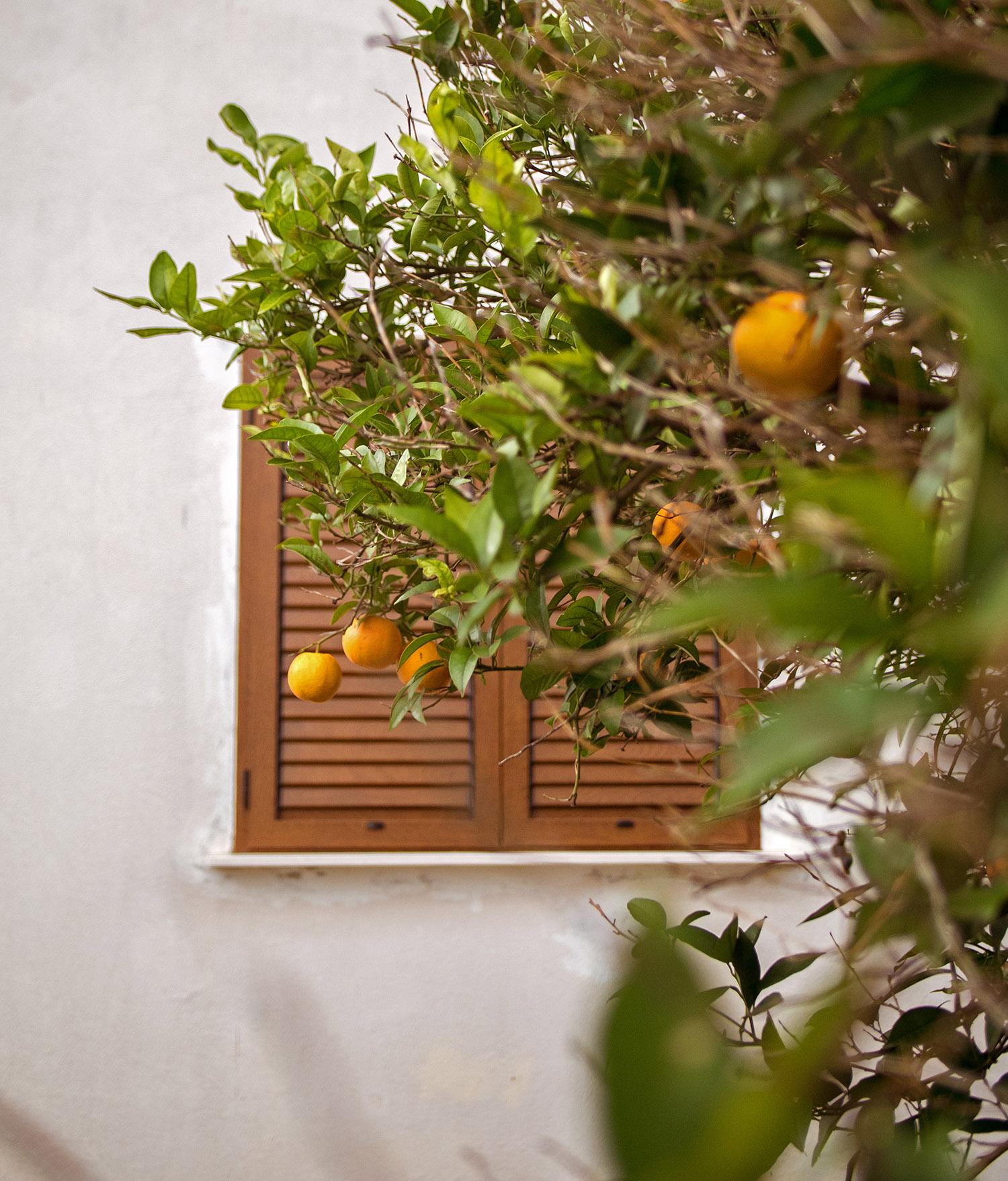 Orange Tree in Peljesac Croatia