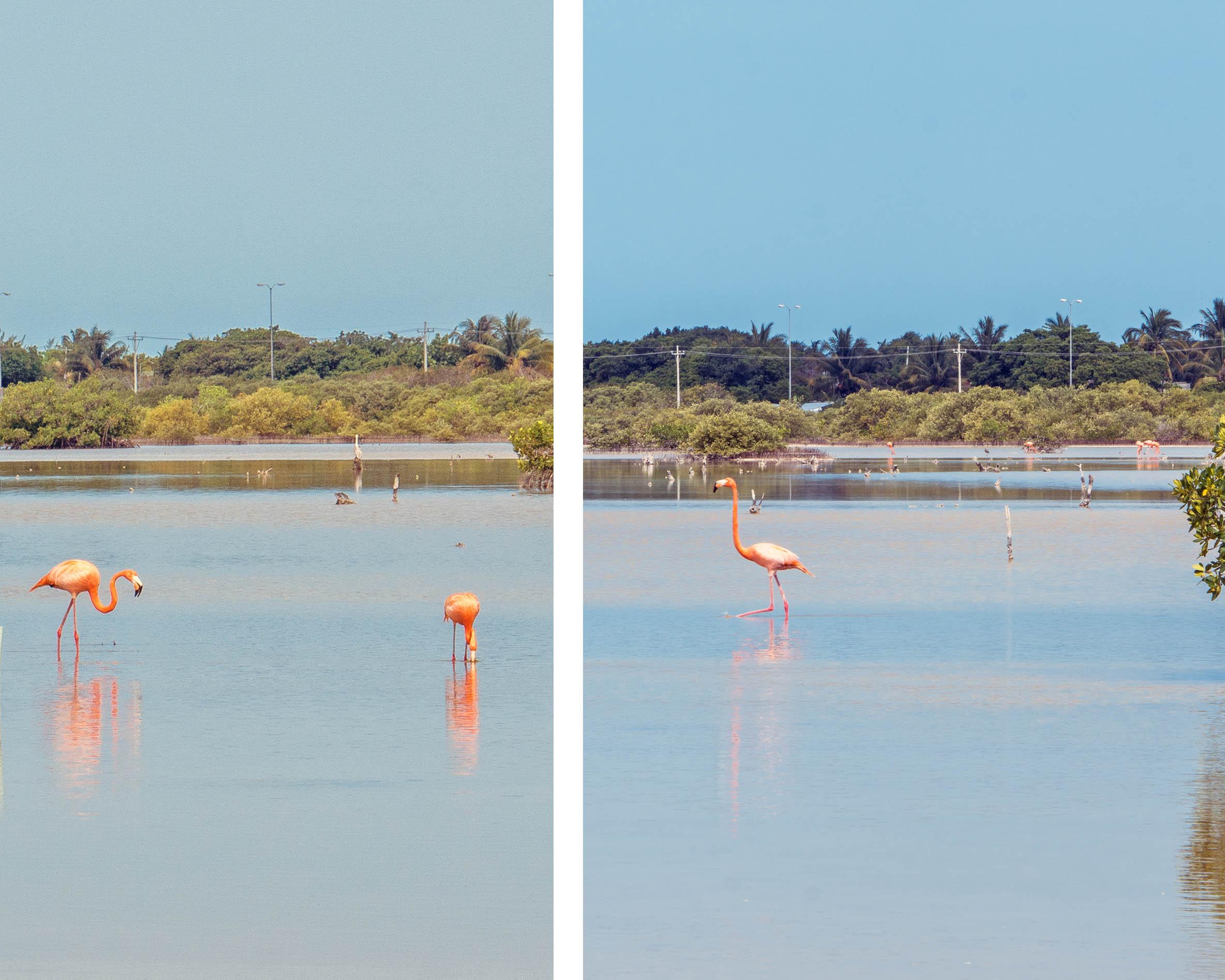 Flamingos near Progreso, Yucatan, Mexico