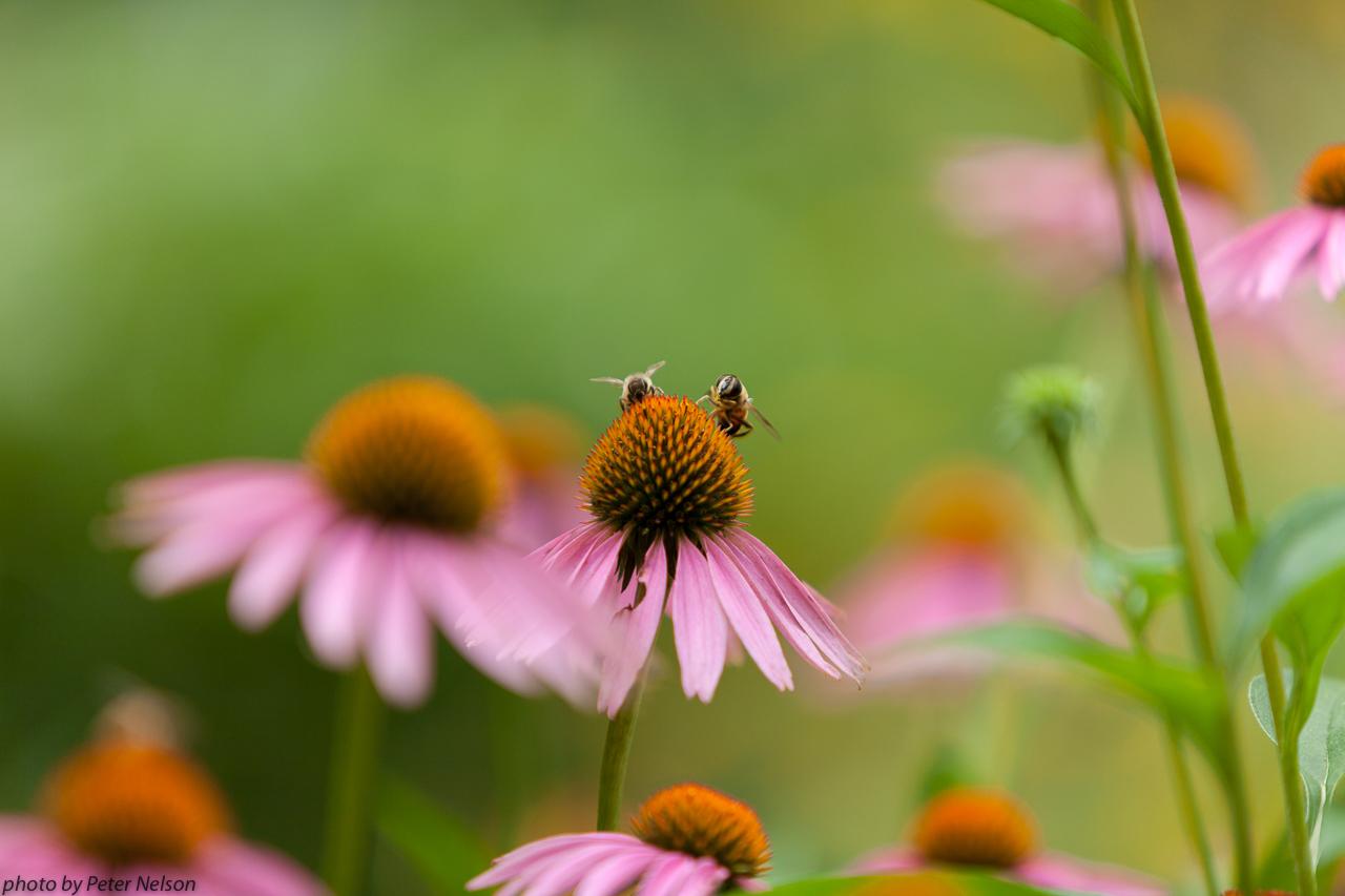 BeesFLowers2_IMG_1710.jpg