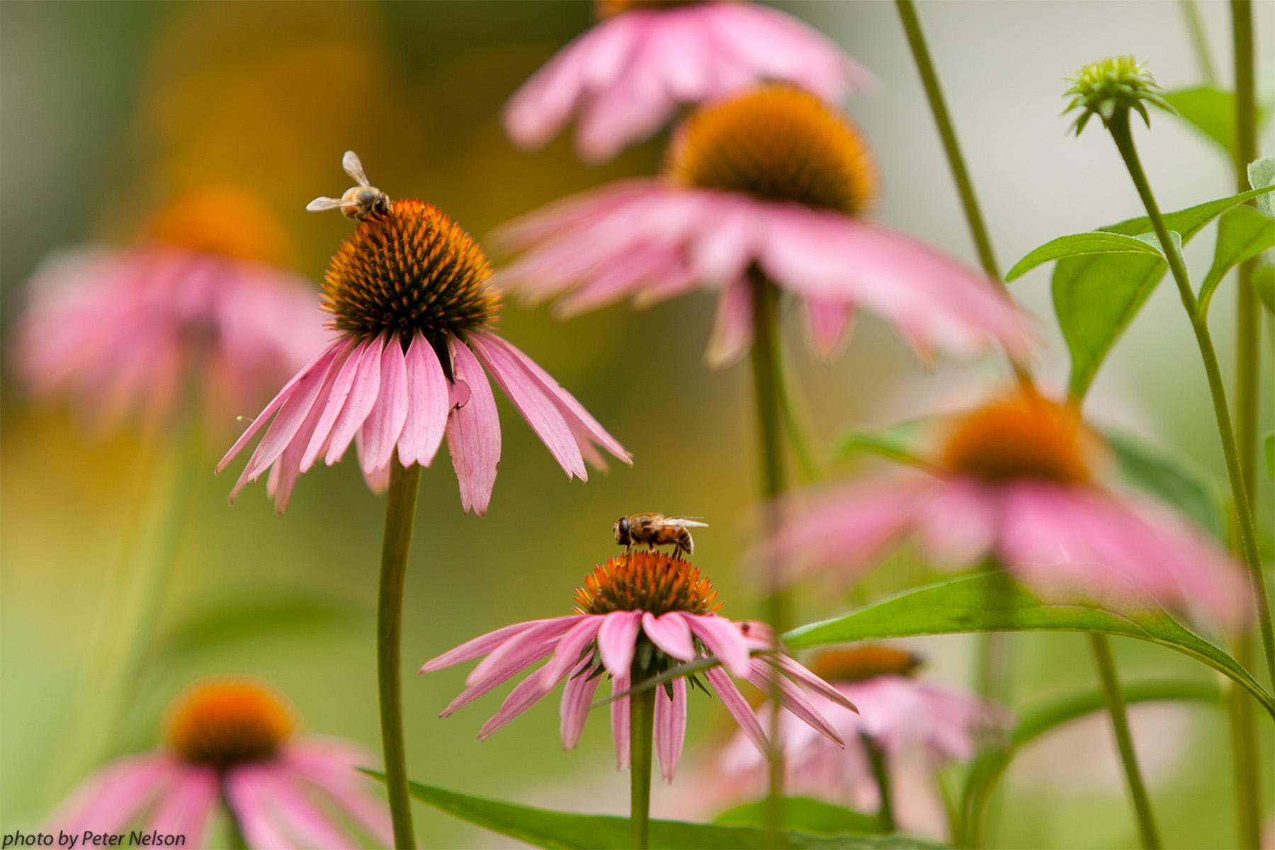 ThePollinators__0010_BeesFlowers1_IMG_1698.jpg