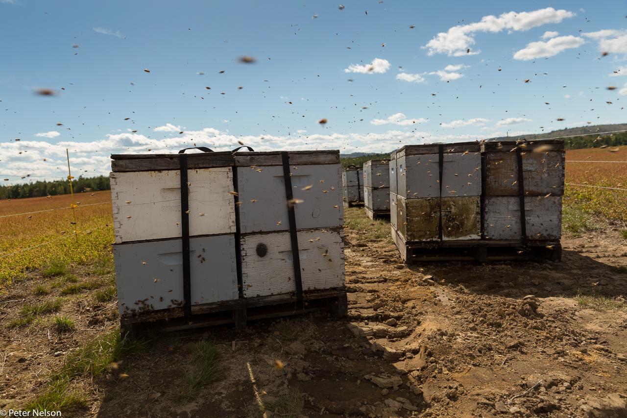 Bees_Blueberries_1_GI7A2450.jpg
