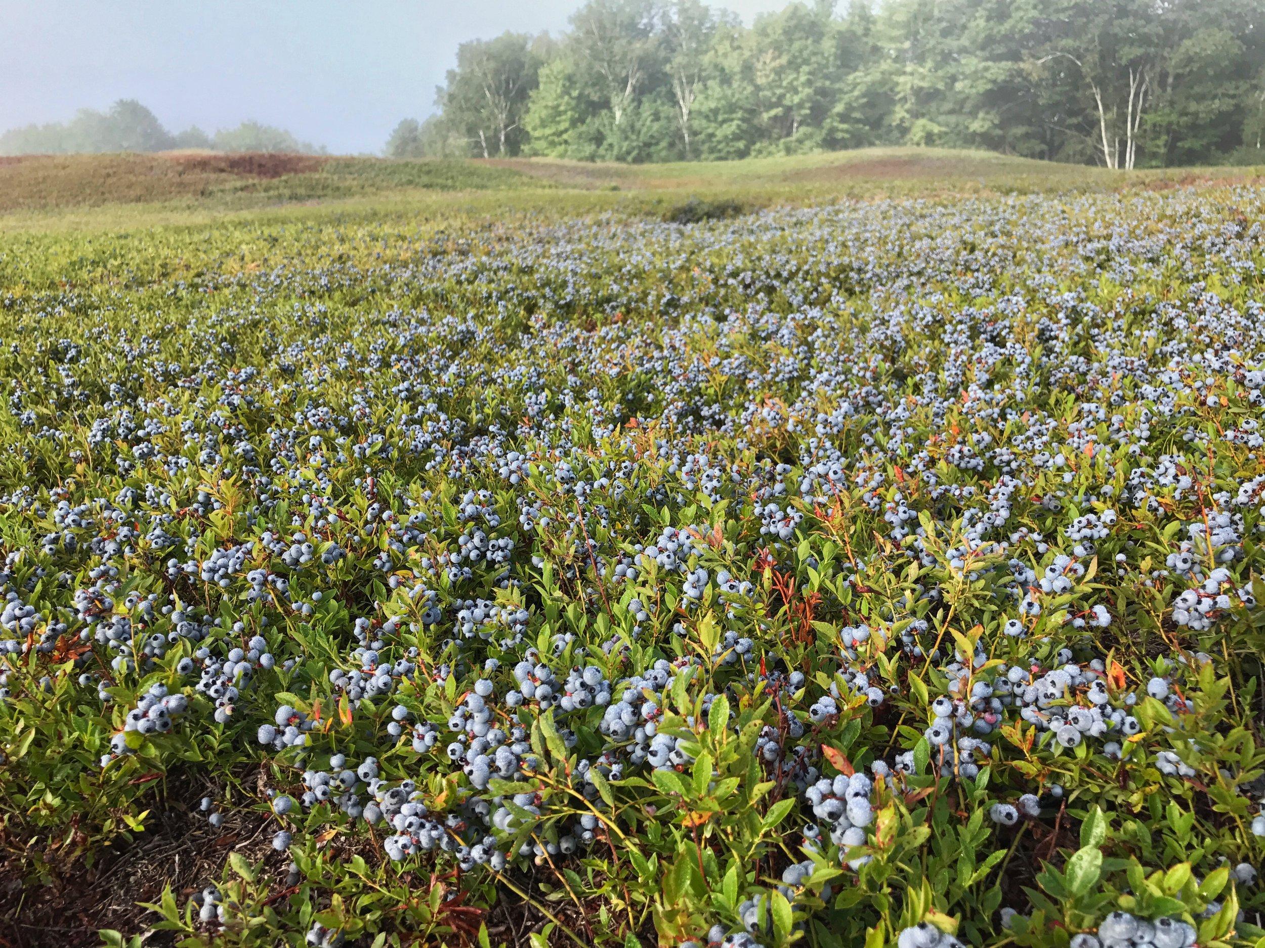 BlueberryCrop.jpg