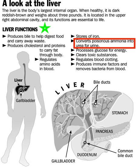 ammonia toxicity high protein diet