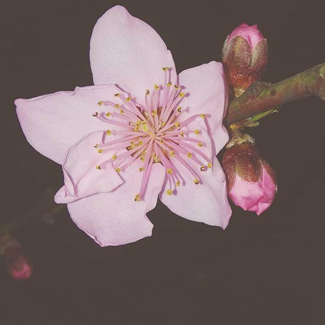 For years I have admired other people's gardening handiwork.....obsessing over the colors and shapes of nature without realizing how much of art it is to cultivate and nourish it. First blooms after 2 years of planting my little front porch peach tree. It feels good to watch life grow. 🌸🍀 #weloveatl #gapeach #inbloom #gardening #almostspring #urbanecology