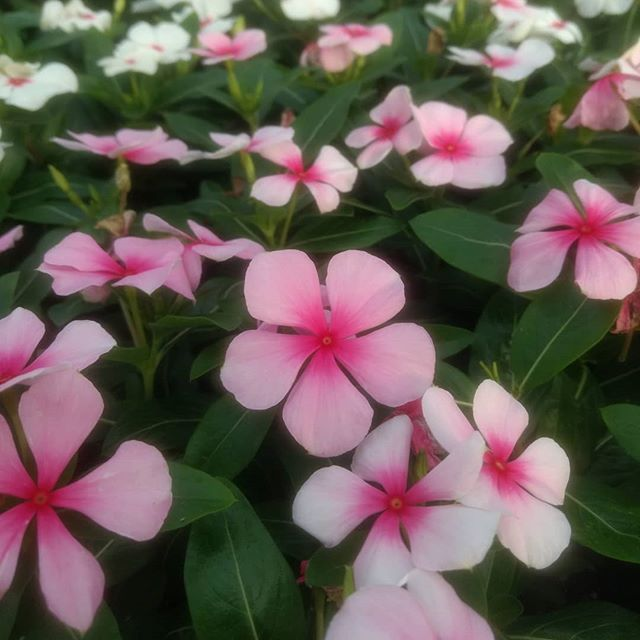 Beautiful Vinca for 89¢/4-pk!  Vinca is an easy care annual that is heat tolerant, so it'll bloom all summer long in full sun!