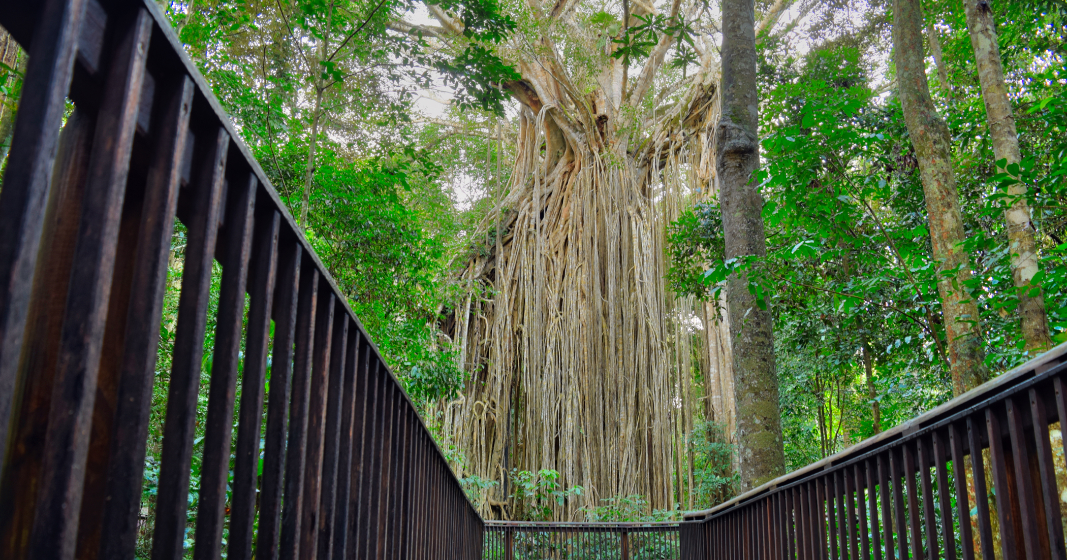 The Curtain Fig Tree.
