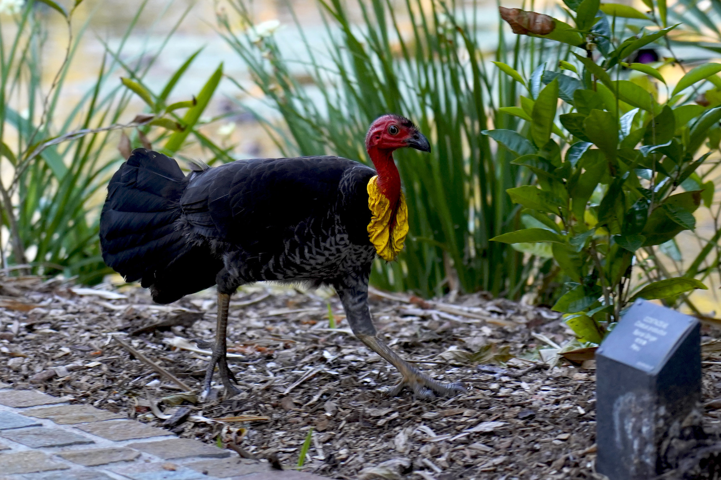 Australian Brush-turkey wander the Lakes.
