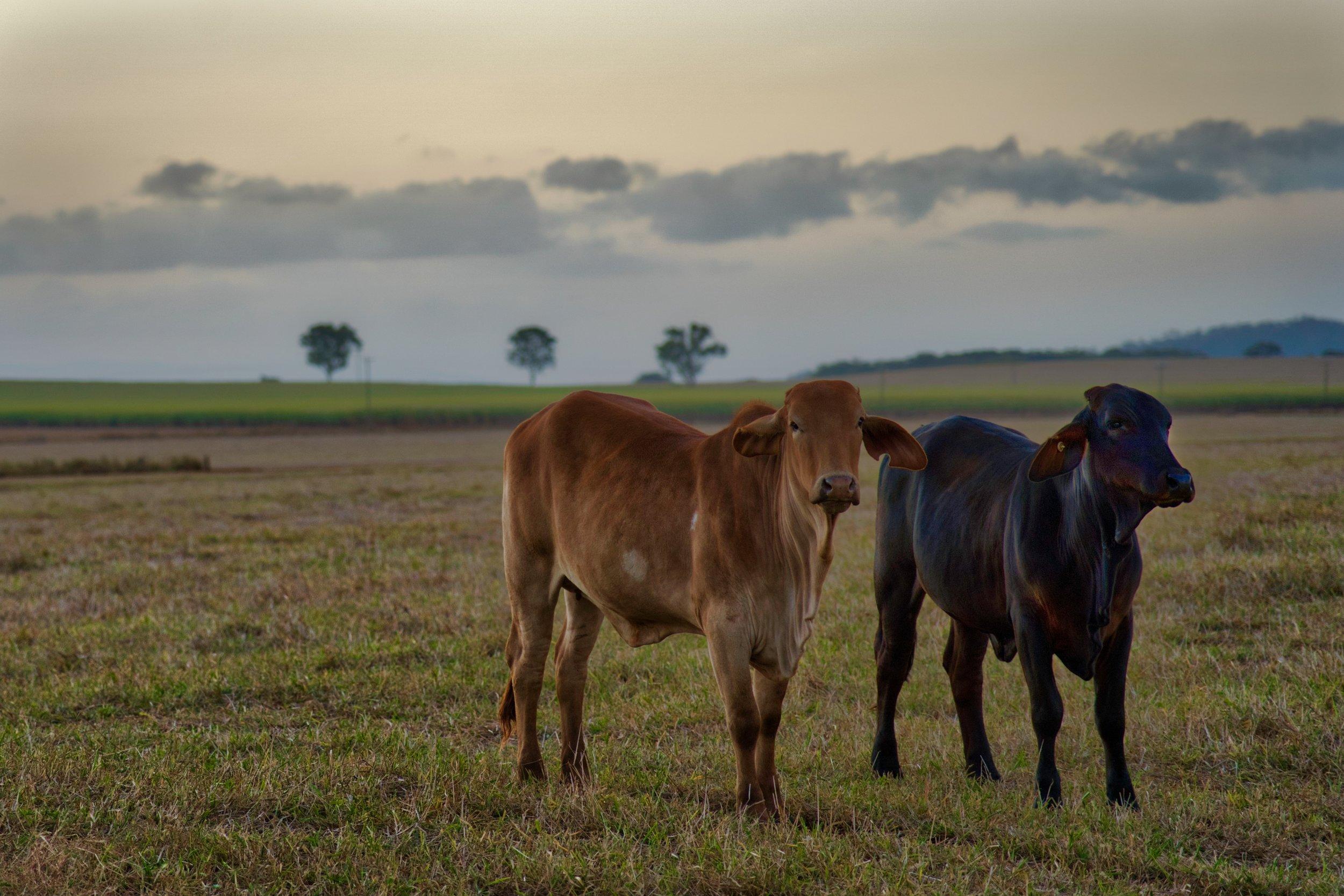Cows at Kairi.
