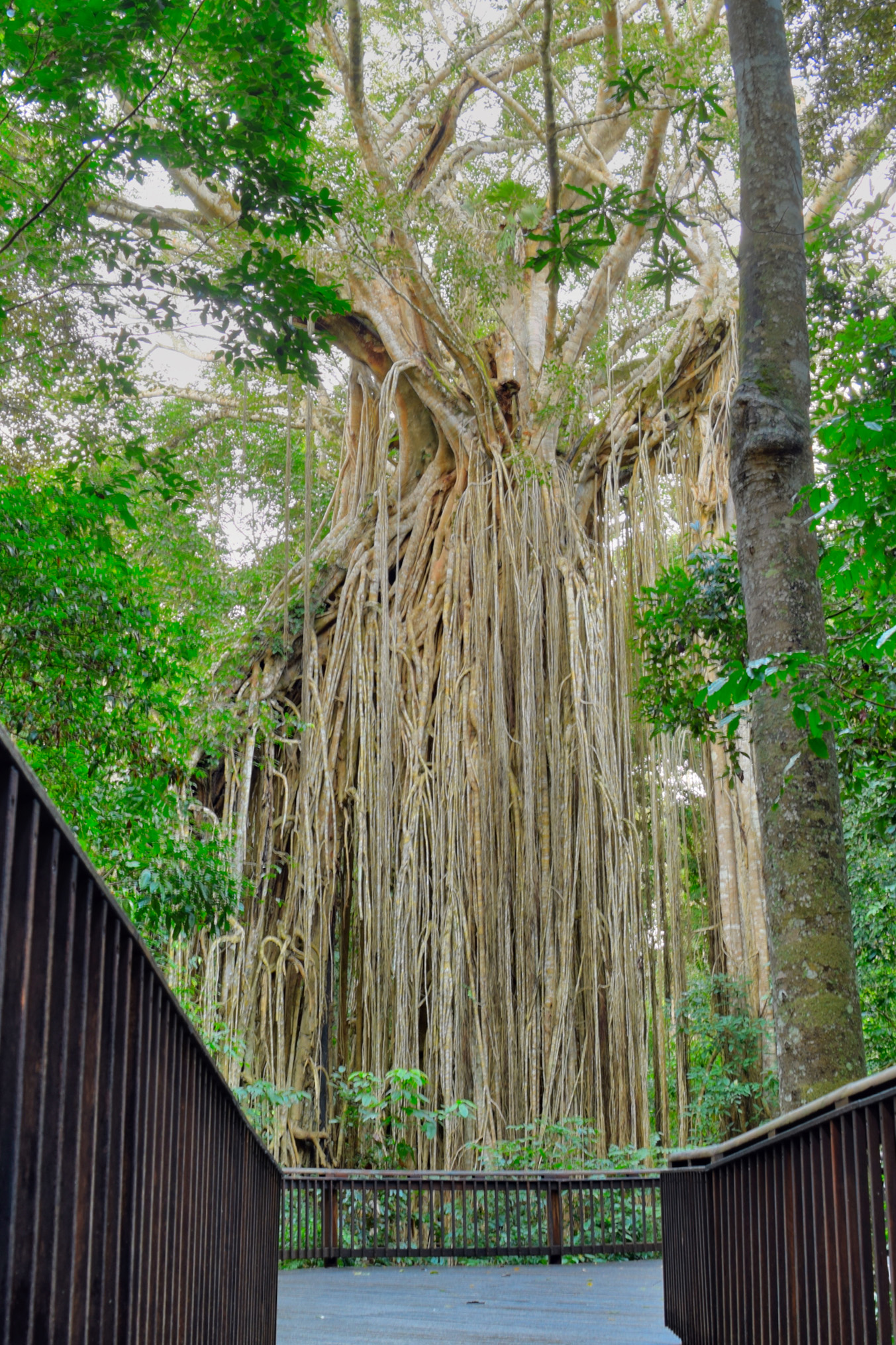 The Curtain Fig tree near Yungaburra is a must see if you are on the Tablelands. The curtain of aerial roots drops 15 metres the ground.