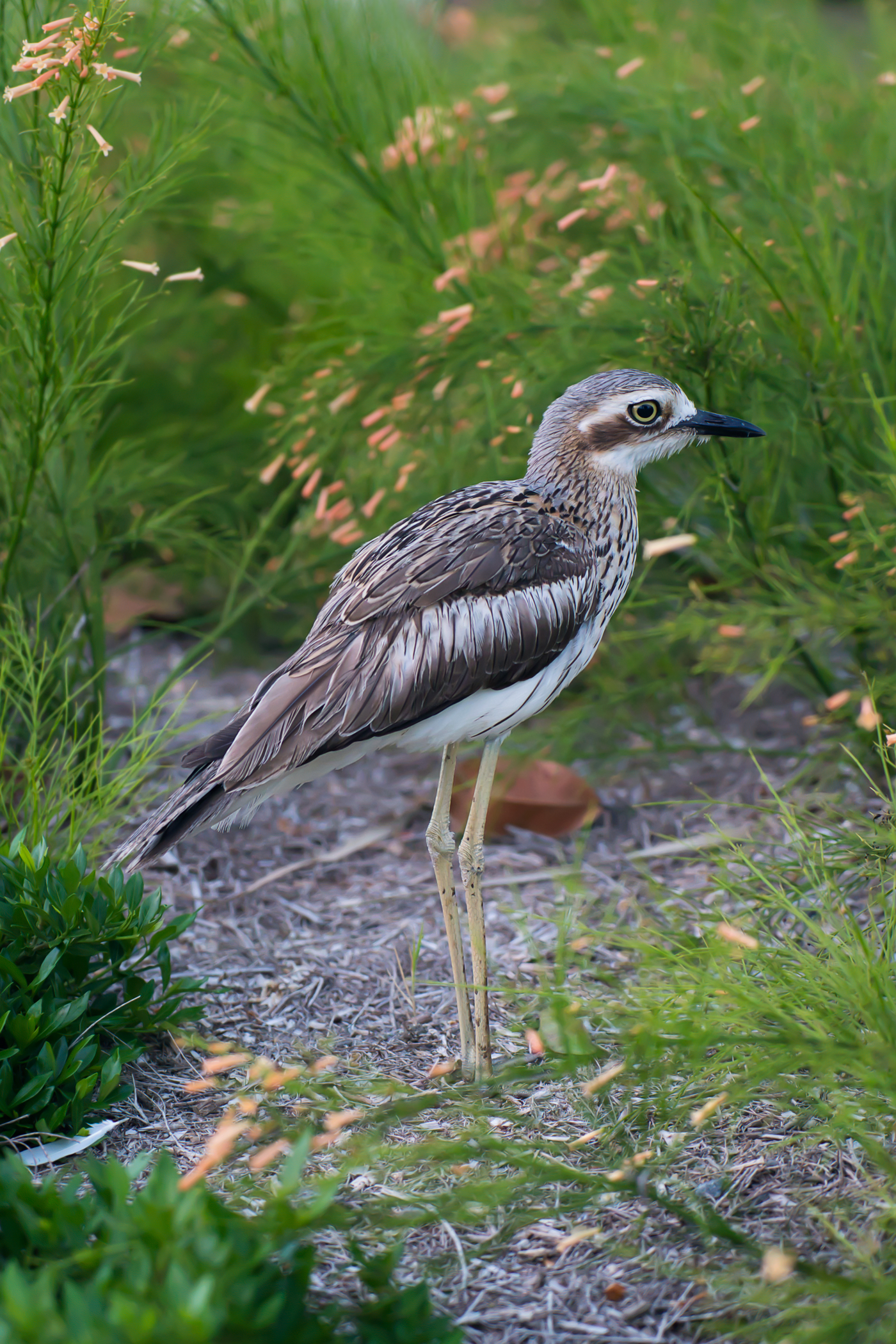 The Bush Stone Curlew are also known as Bush Thick-knee.