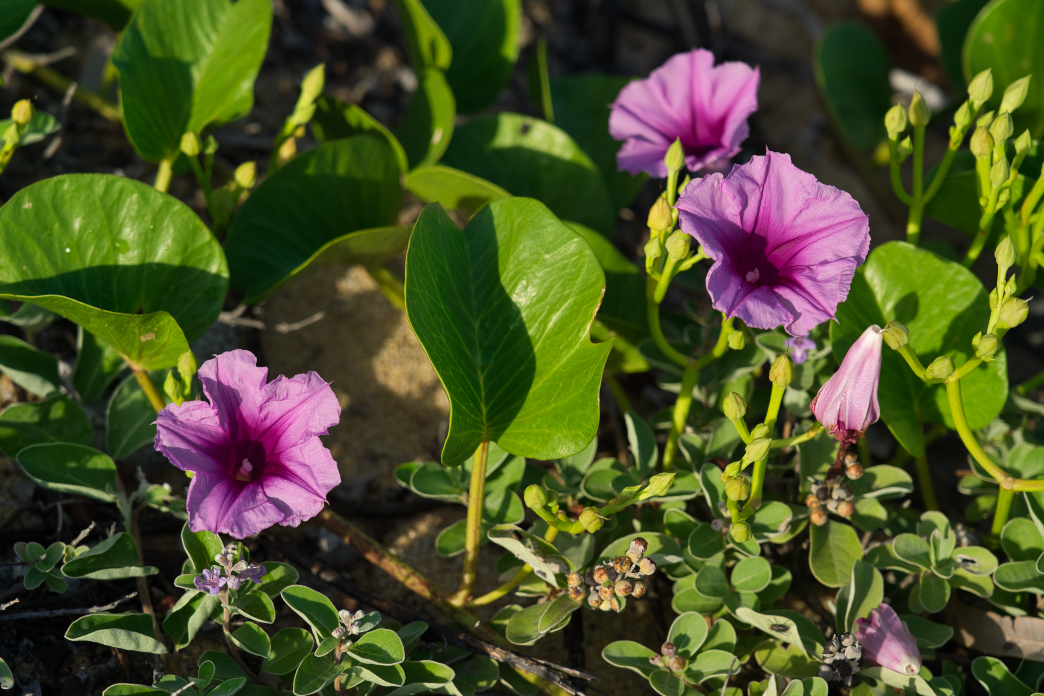 In January 2019 there were a lot of these flowers sprouting from a creeper along the shoreline.