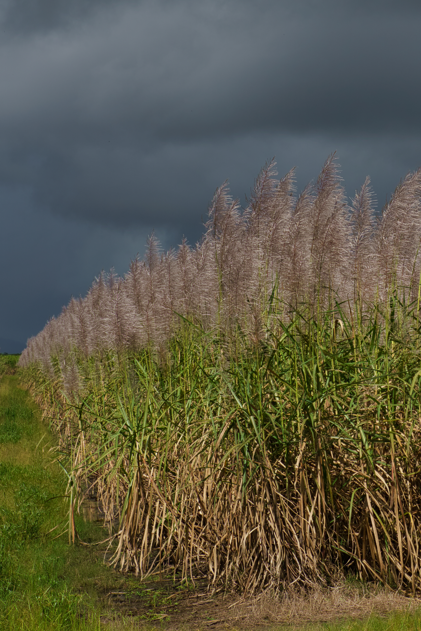 Sugar cane flowering along the Bruce Highway