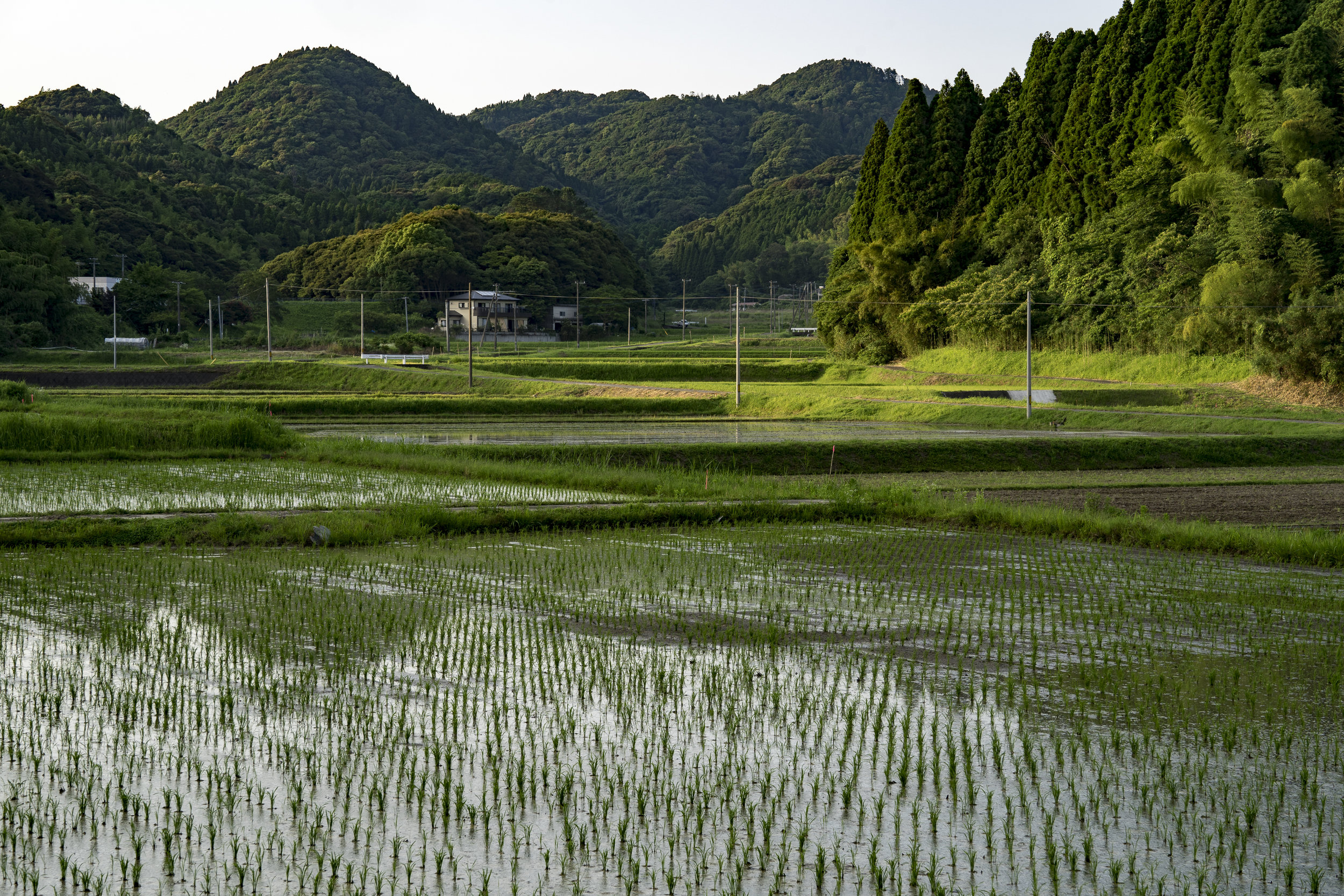 The rice fields are starting to be planted.