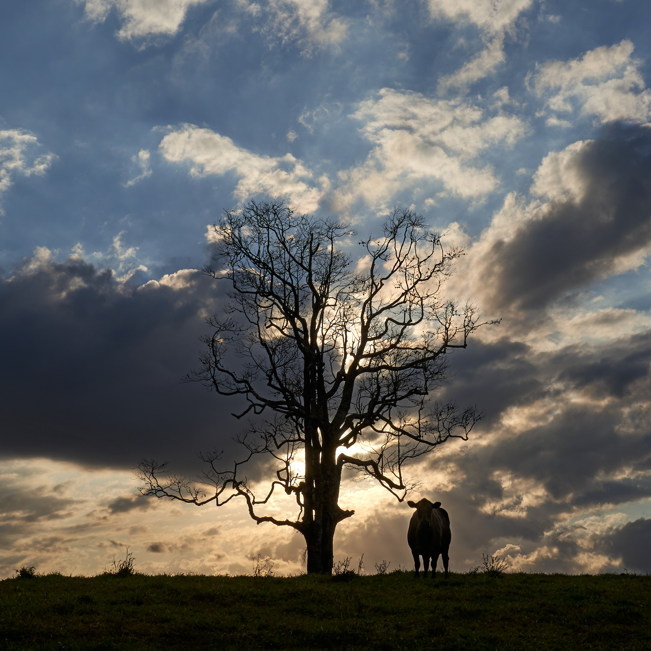 Sun drops behind the clouds as I talk to this cow. This would turn into a beautiful sunset.