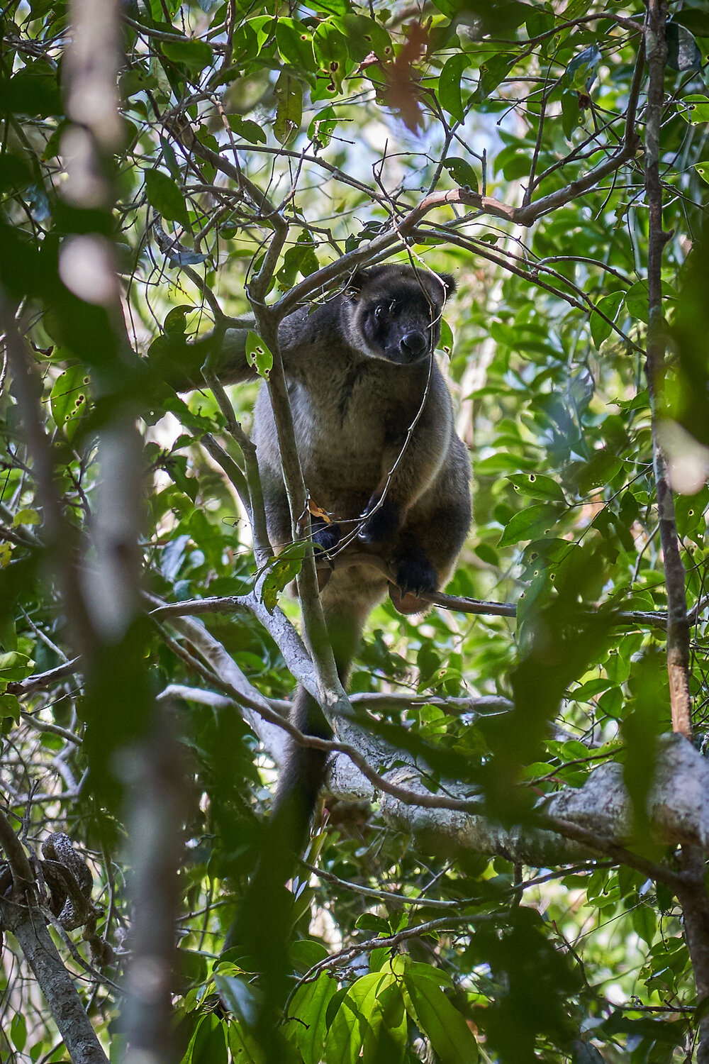The first Tree Kangaroo my wife and I have seen in the wild.