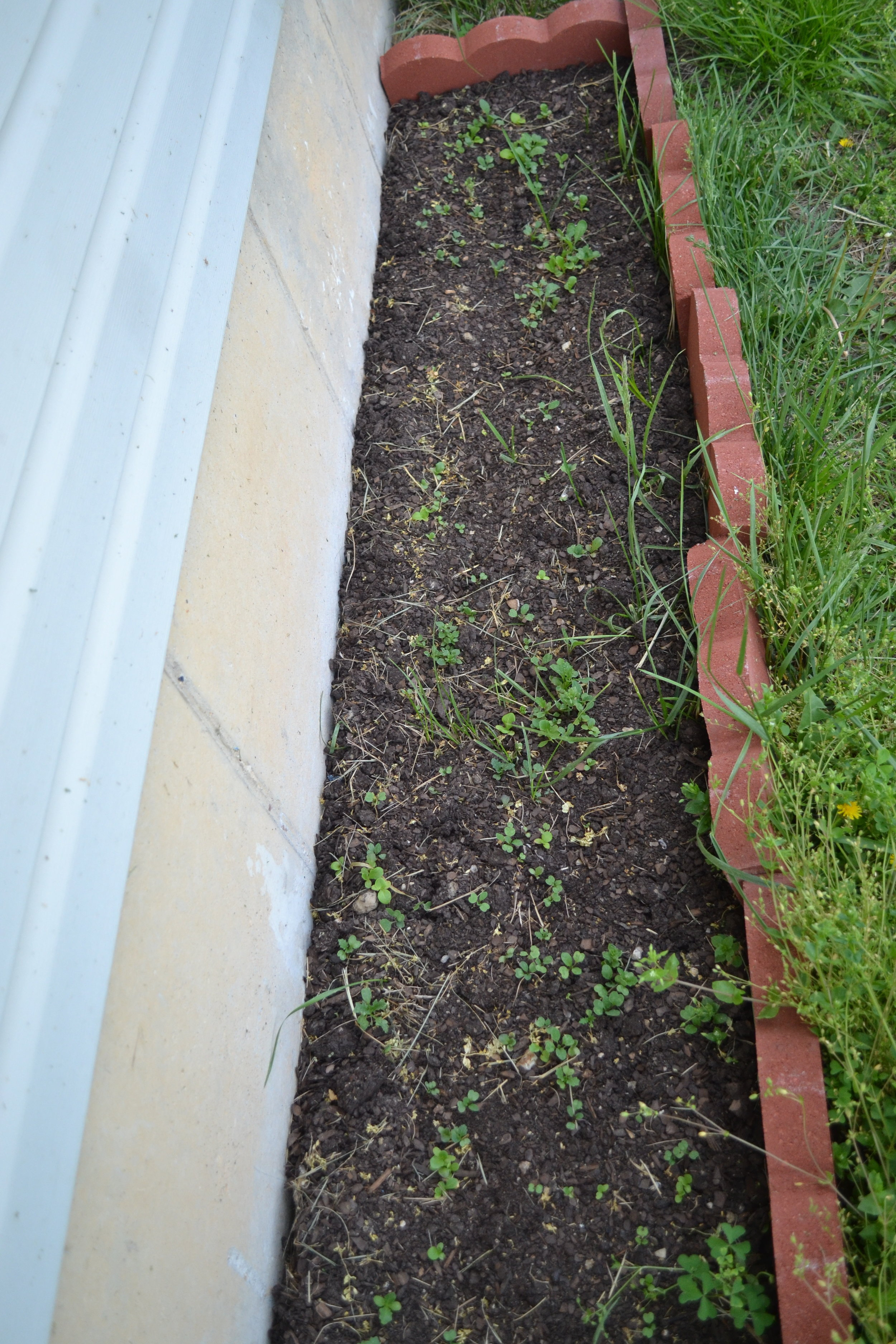 Backyard raised bed - Salad greens...that are currently overrun with chickweed, clover, and dead grass from the mower