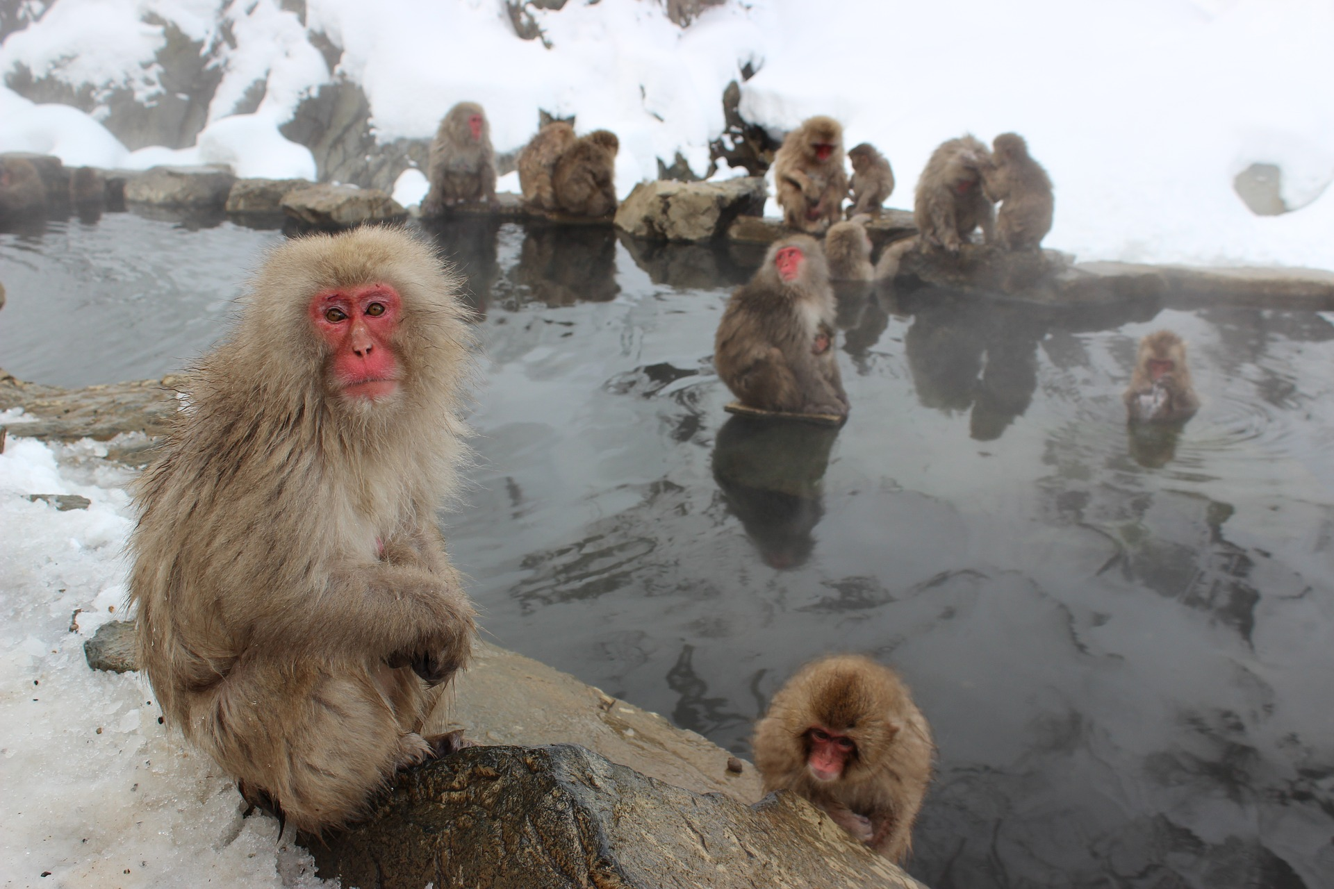FREE Pixabay - snow-monkeys-1394883_1920.jpg