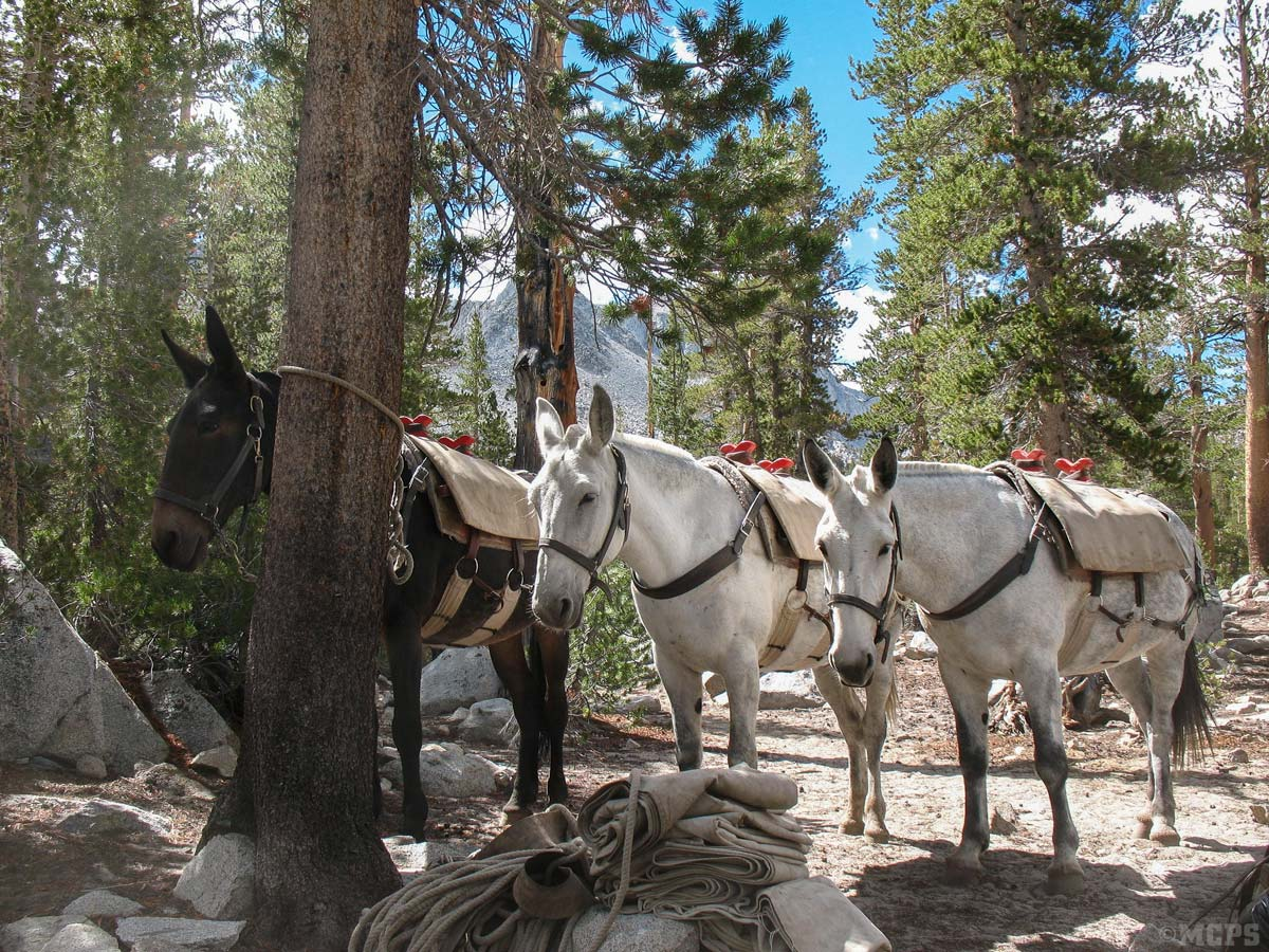 Trusty pack mules Babe, Opal and Pearl rest up for the trip home in camp at Round Lake