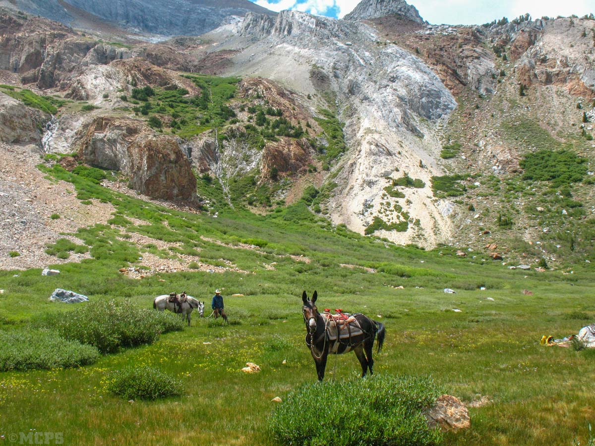 Mammoth Widerness by mule: Ginny enjoys some grass while taking a sweet break in Baldwin Canyon after dropping our guests.