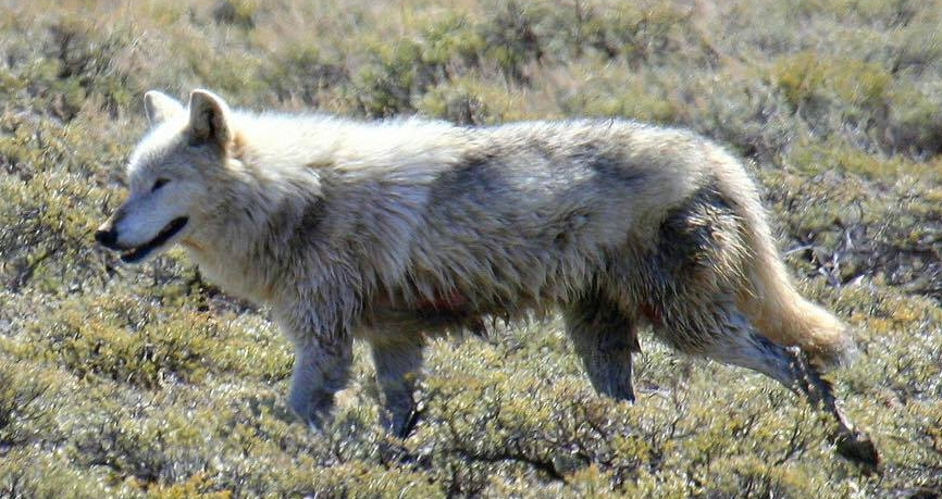 Poaching in Yellowstone National Park - Wolves of the Rockies offers $12,000.00 Reward