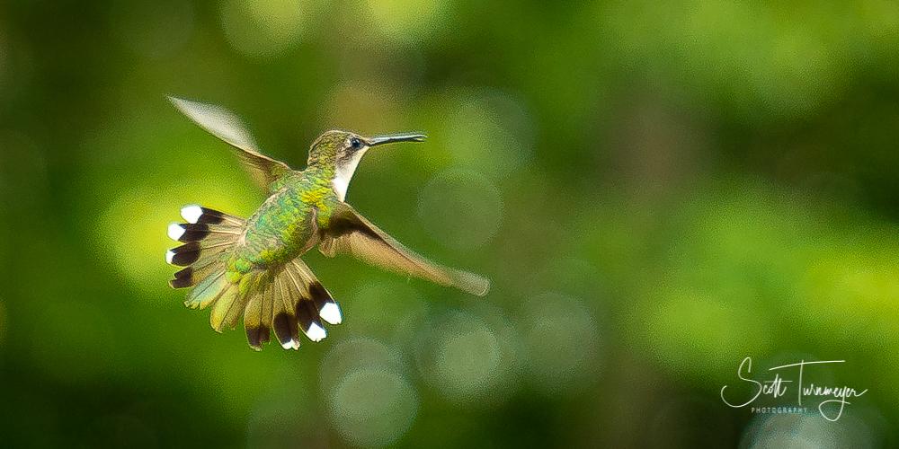 Hummingbird Spread Photo by Scott Turnmeyer