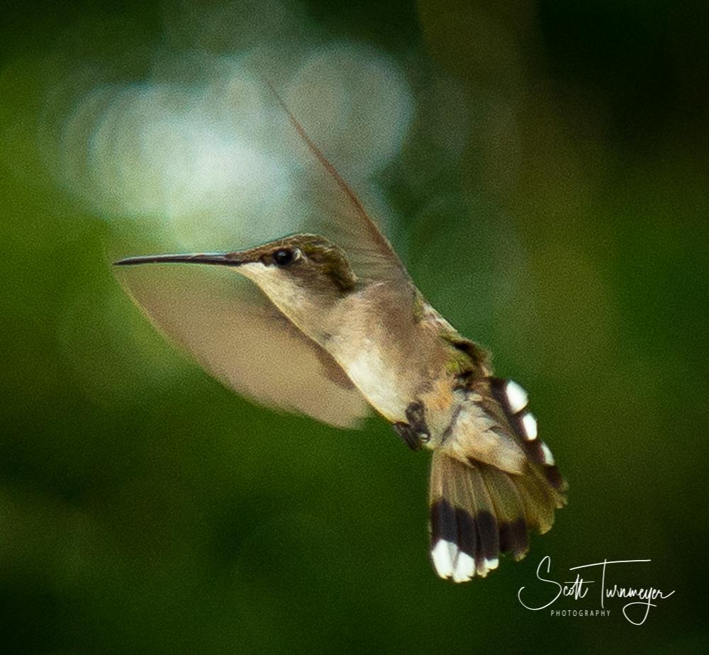 Hummingbird Flying Photo by Scott Turnmeyer