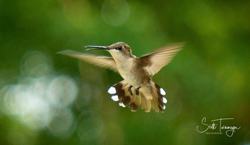 Hummingbird Wings Photo by Scott Turnmeyer