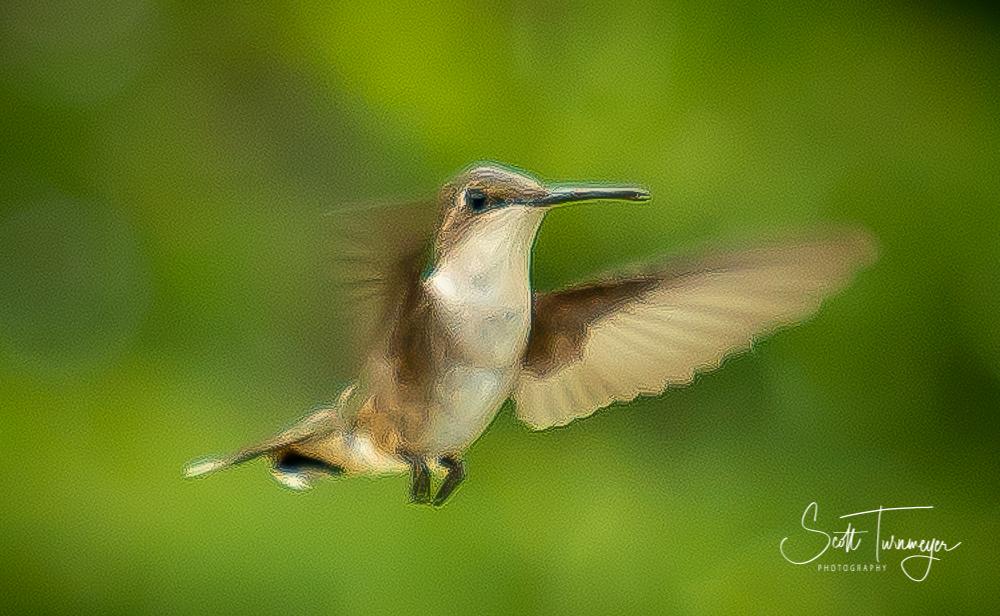 Hummingbird Photo by Scott Turnmeyer