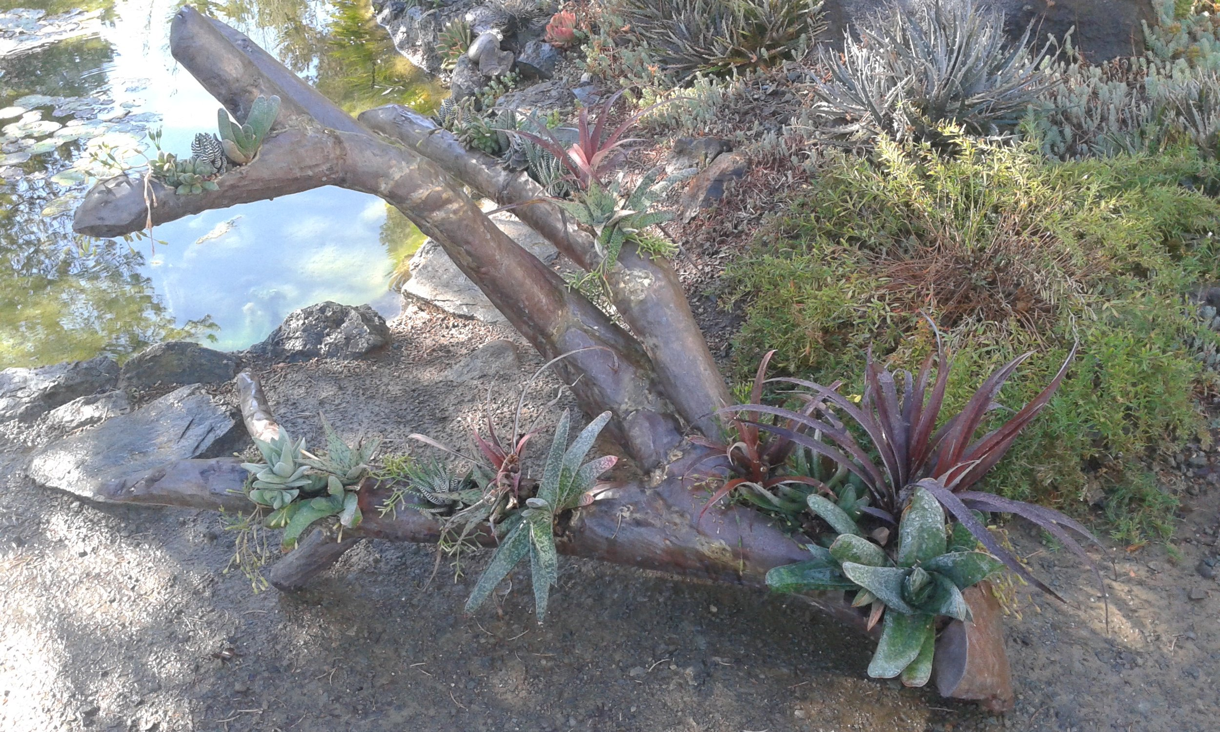 This copper multi-branched tree limb sculpture illustrates design elements such as repetition by repeating the colors of the metal sculpture with the plants. The  Rhipsalis  repeats the brass soldering, the  Cryptbergia  'Red Burst' repeats the warm reddish tones of the copper as do the red tips of the  Gasterias . Repetition is used also by installing the same varieties of plants in more than one cavity. A second design element used was scale by the placing larger plants in the larger areas of the sculpture and smaller plants in the smaller areas. Notice the larger and visually heavier plants at the base of the sculpture at the bottom right serving to anchor the piece.