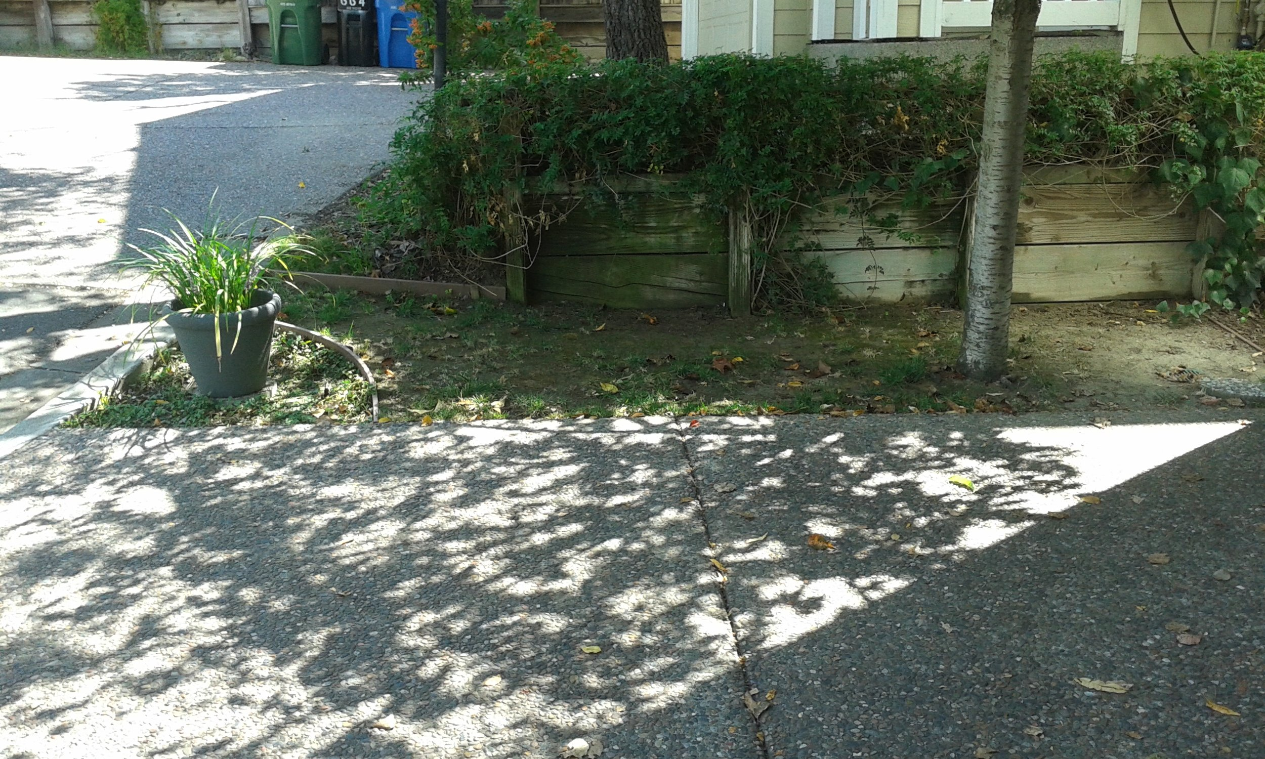Left of driveway near curb showing container with Liriope.jpg