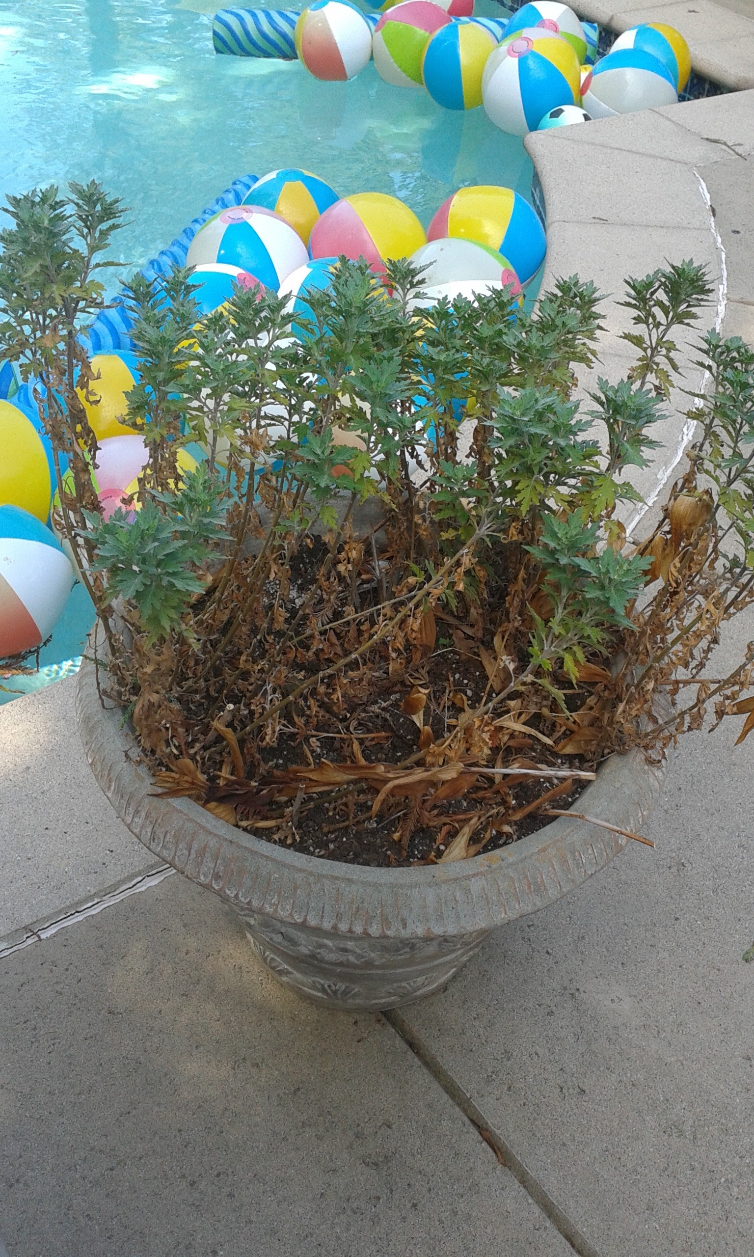 Randy's poolside succulent container BEFORE redo.jpg