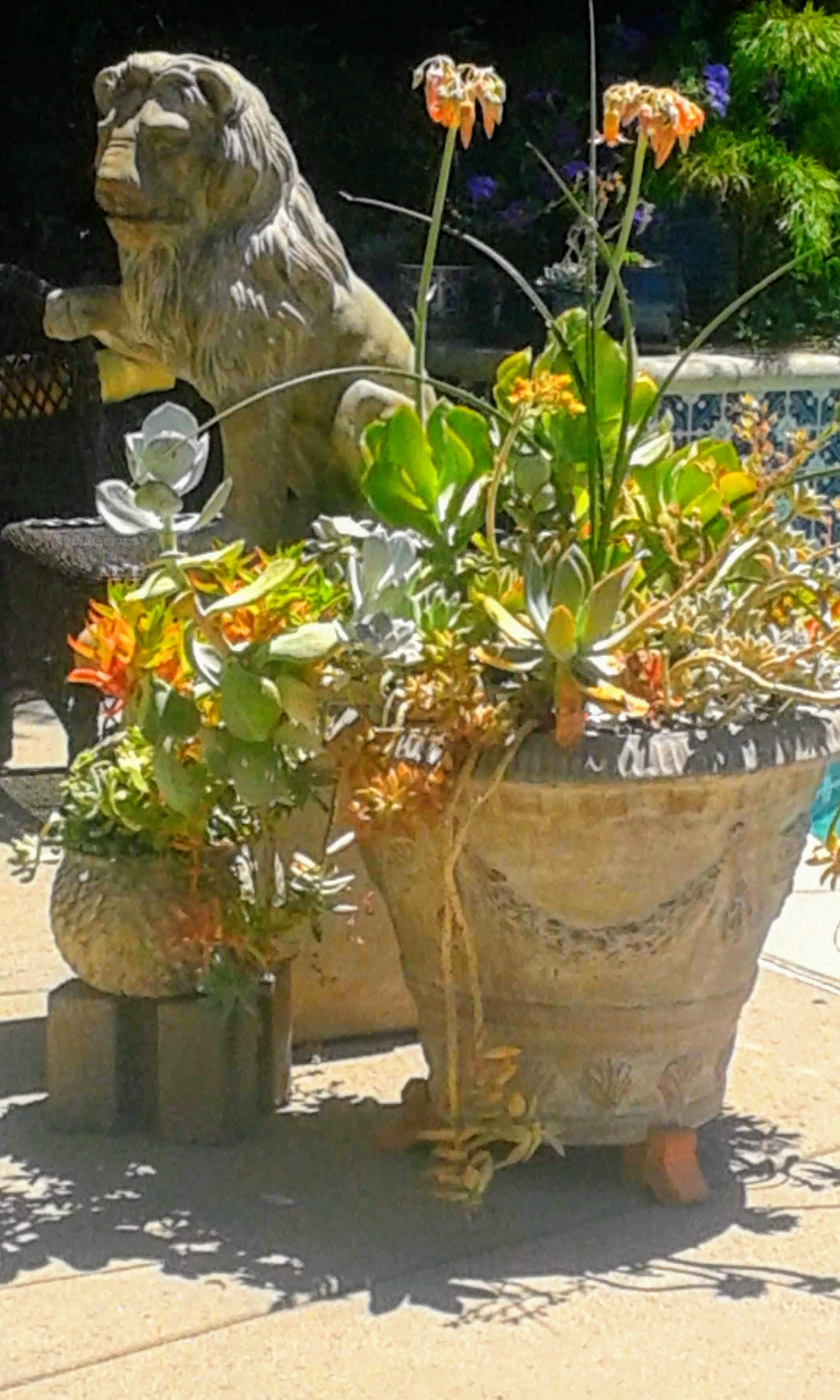 Randy's poolside succulent container garden on 2018-6-26-EFFECTS.jpg