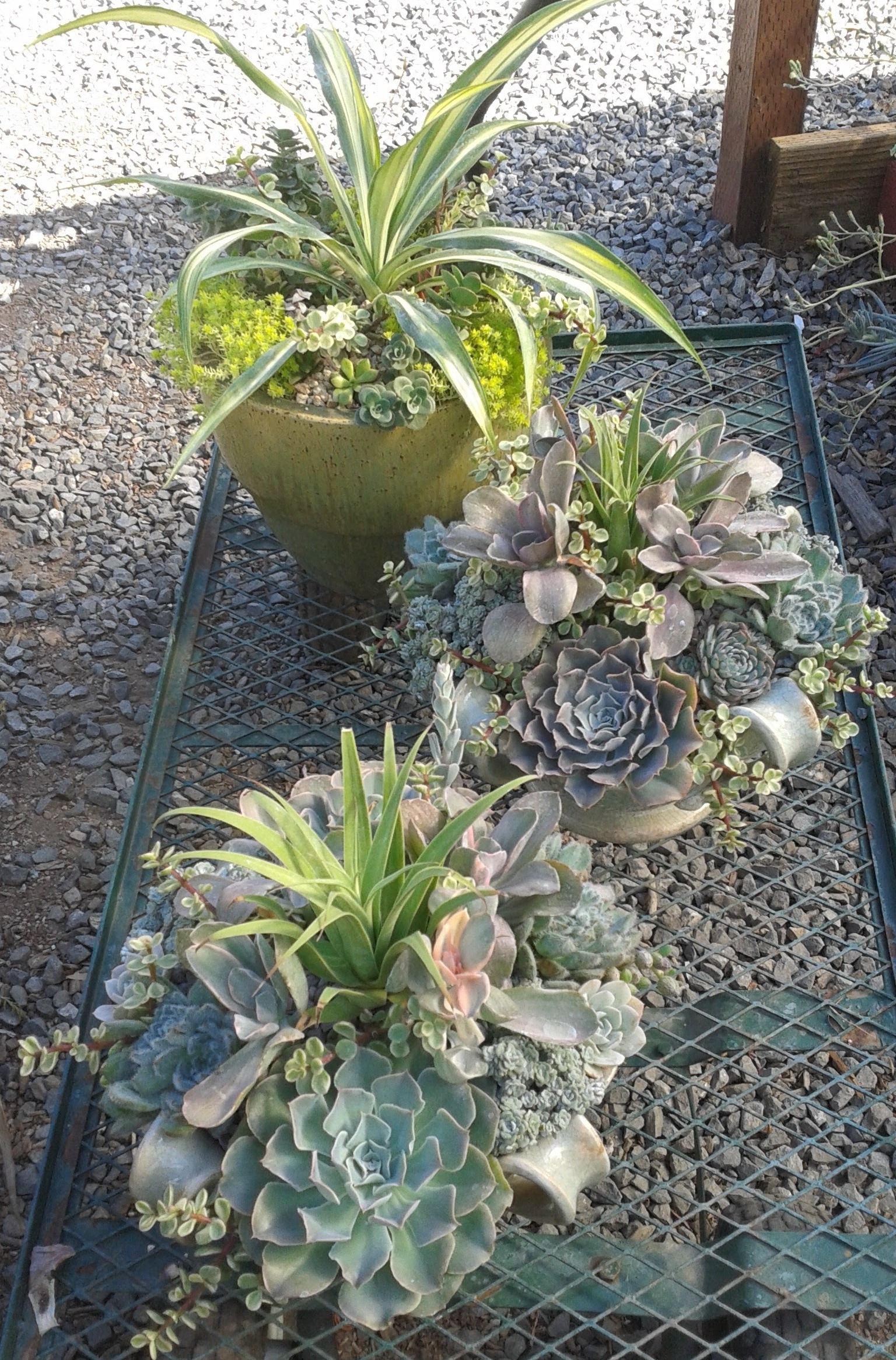 Three succulent dish gardens on cart.jpg