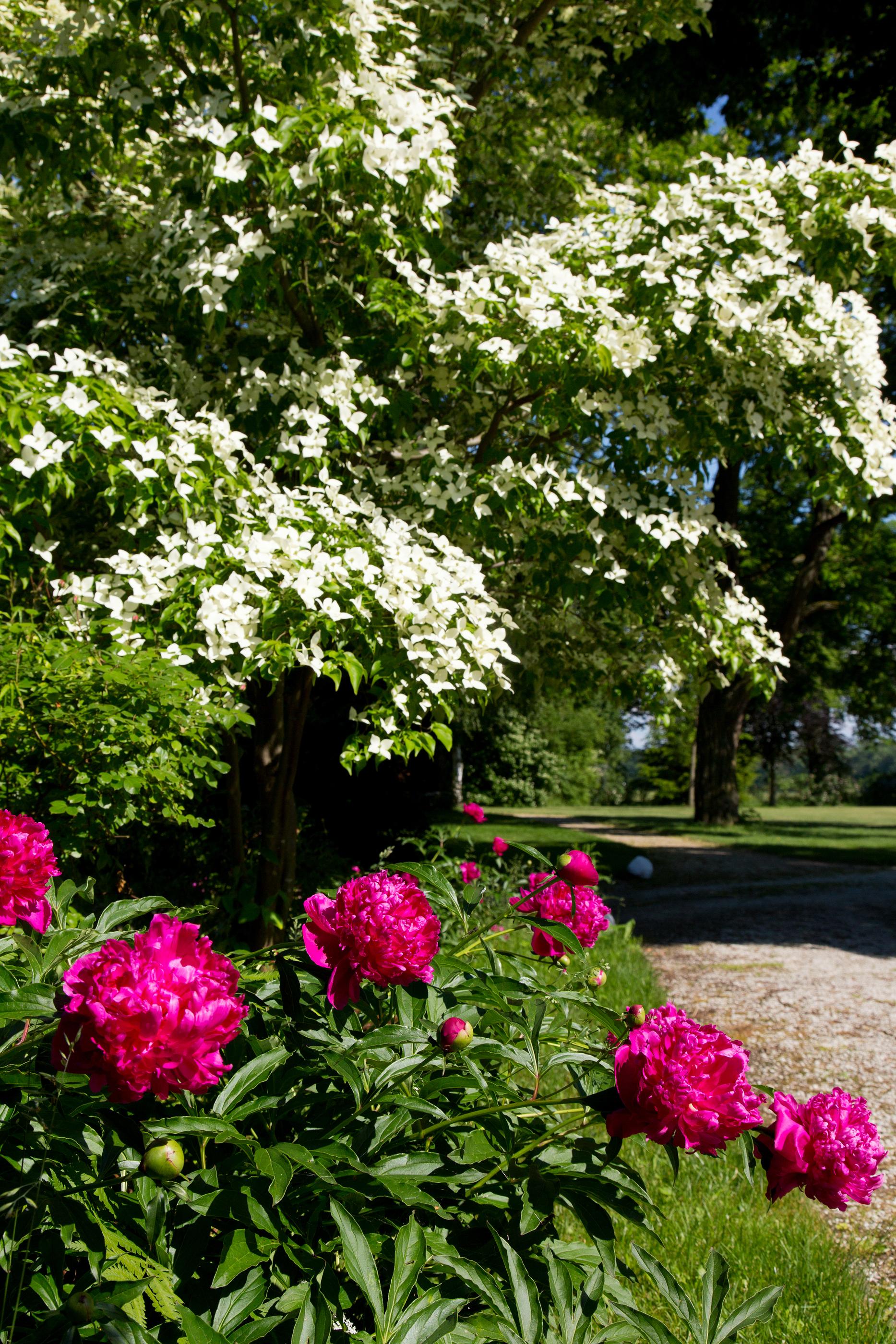 Blütenhartriegel vor Pfingstrose
