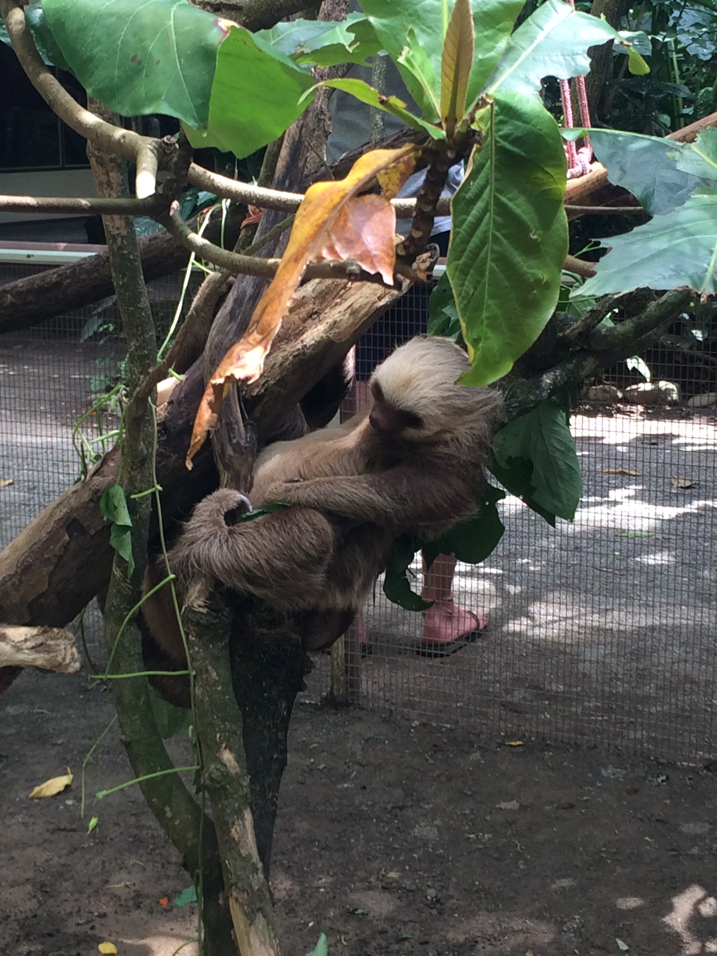 A sloth at the Jaguar Rehabilitation Center