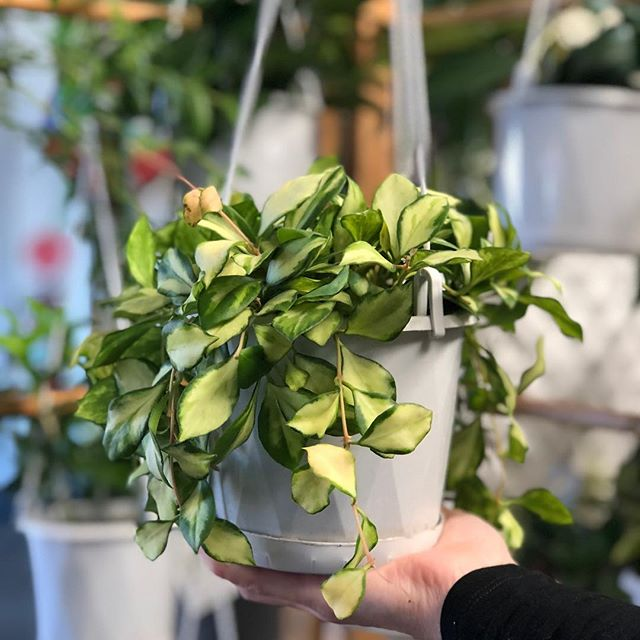 Our first Spring Plant sale is going to be happening on Thursday 4th October from 2pm-8pm! 🍃🌱🌿☀️ I'm going to spam the event on Facebook with details of what plants will be available and the prices so check it out if you're interested! (And yes we will have Hoya baskets from $20!) Also, what plants do you want to see at the sale?? Let me know!! 😍🌿🌱🍃