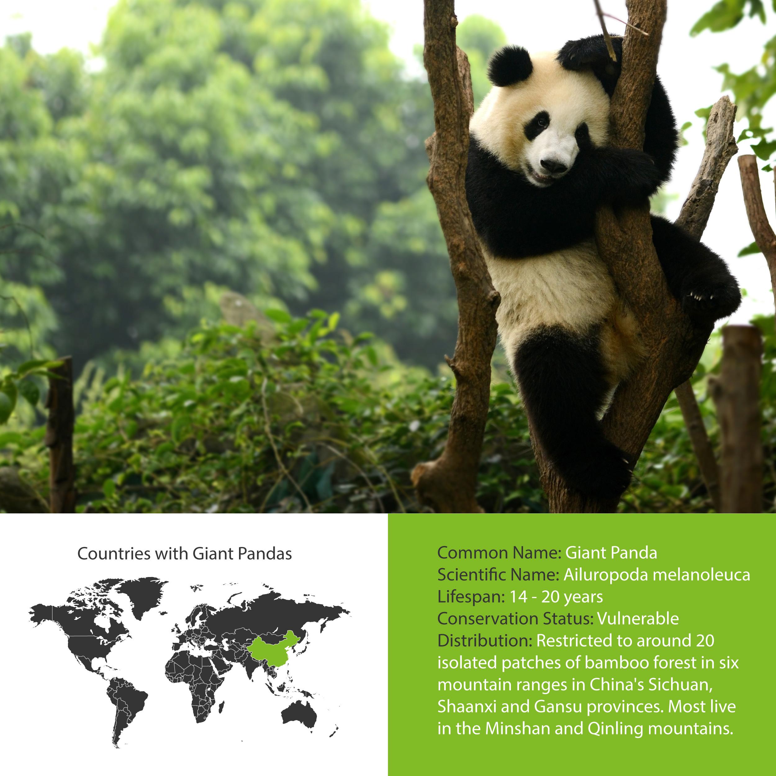 Giant Panda Distribution