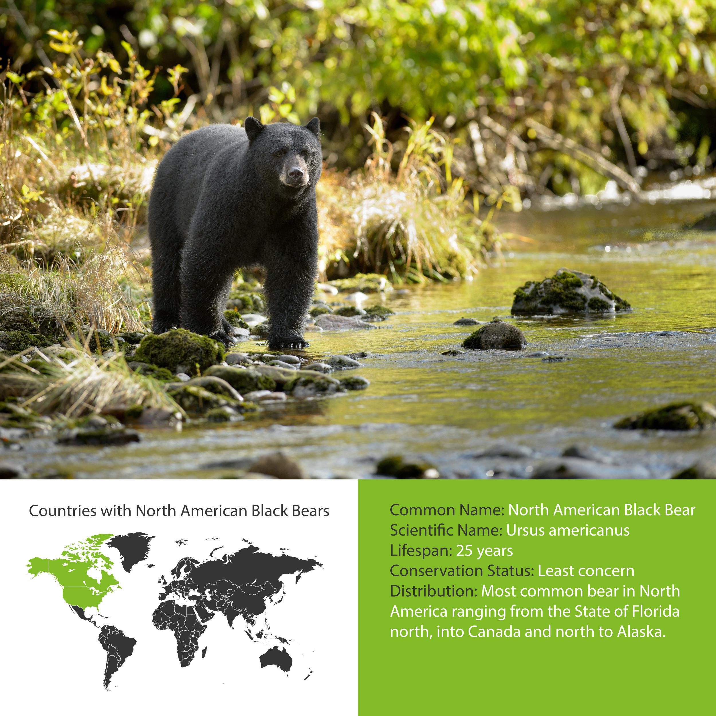 North American Black Bear Distribution