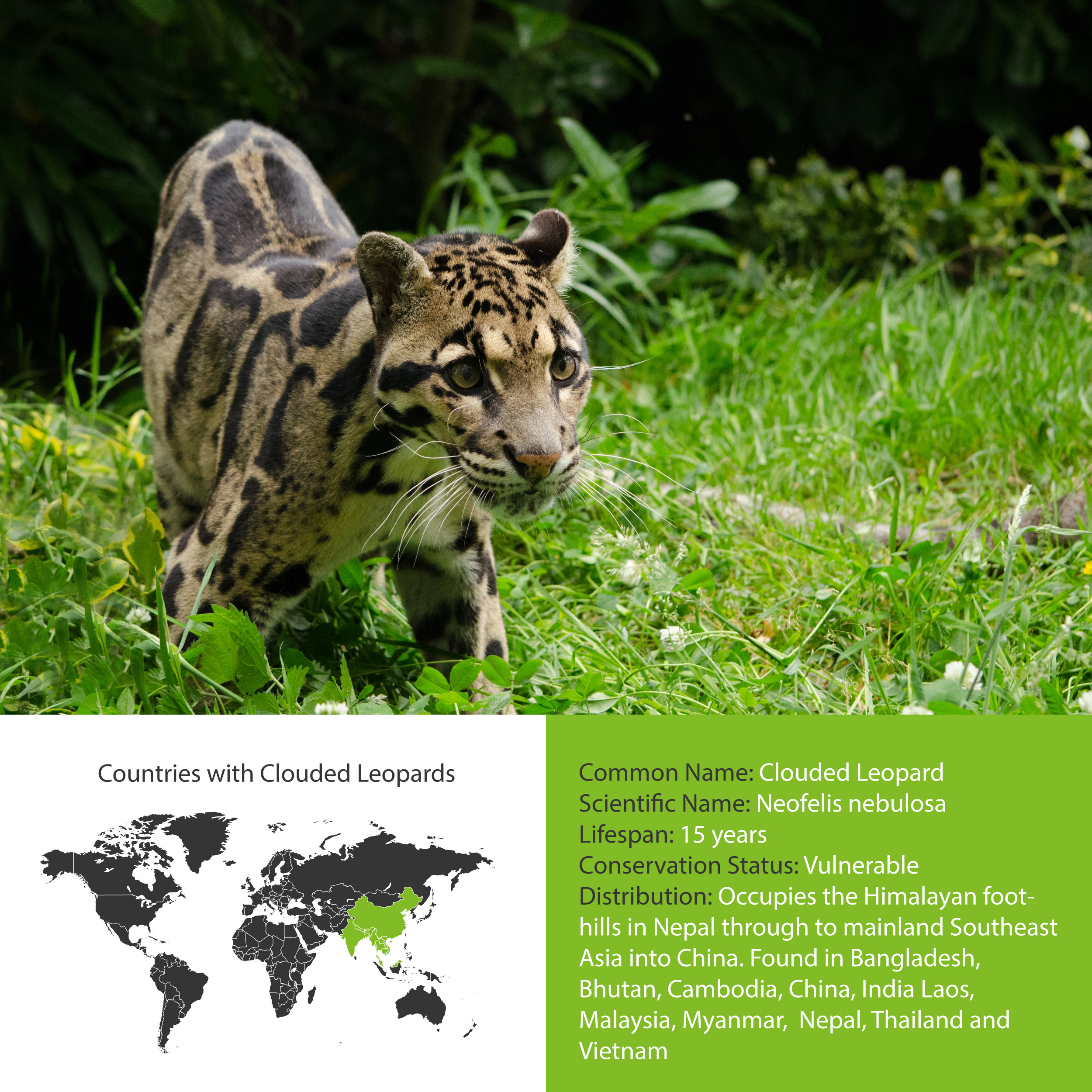 Clouded Leopard Distribution