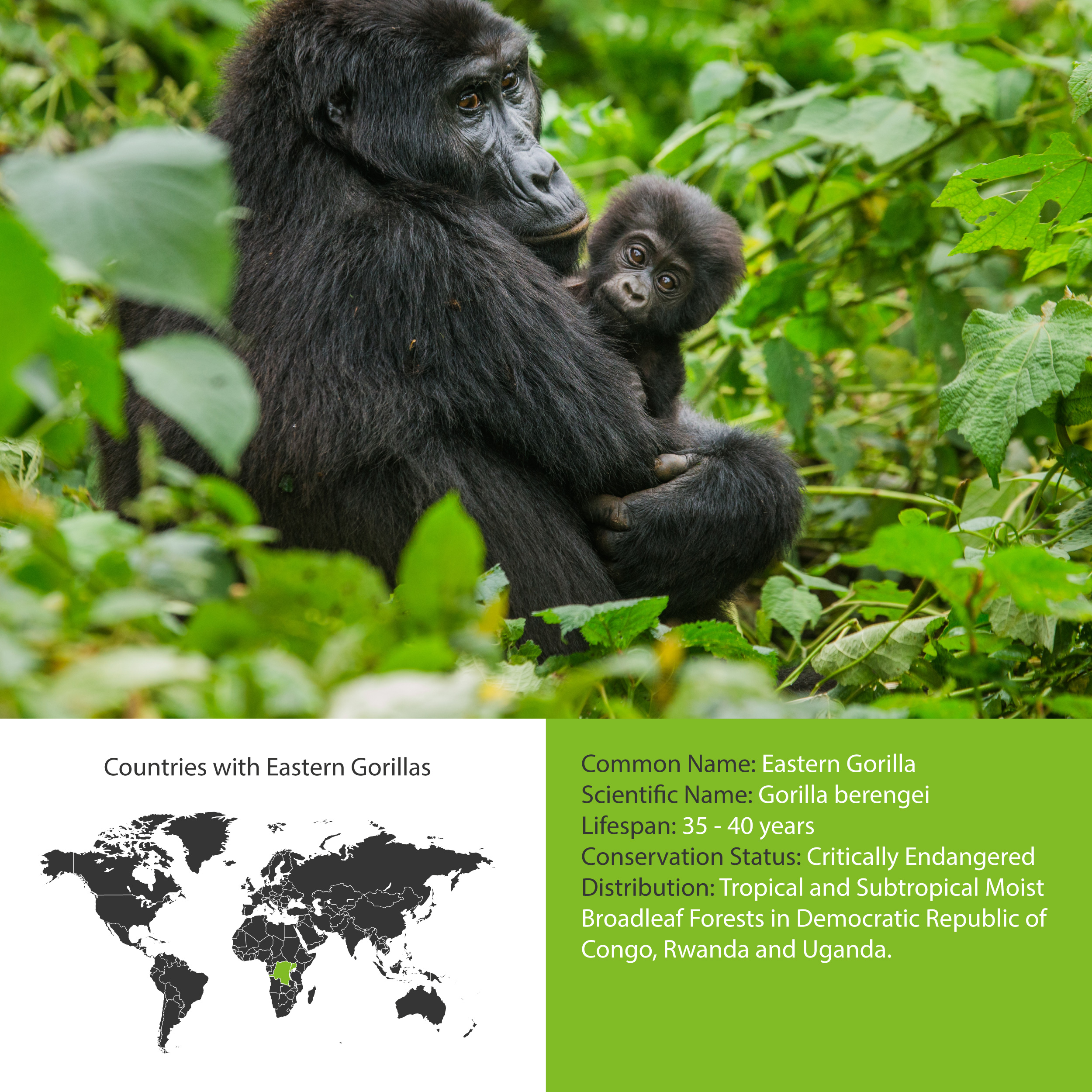 Eastern Gorilla Distribution