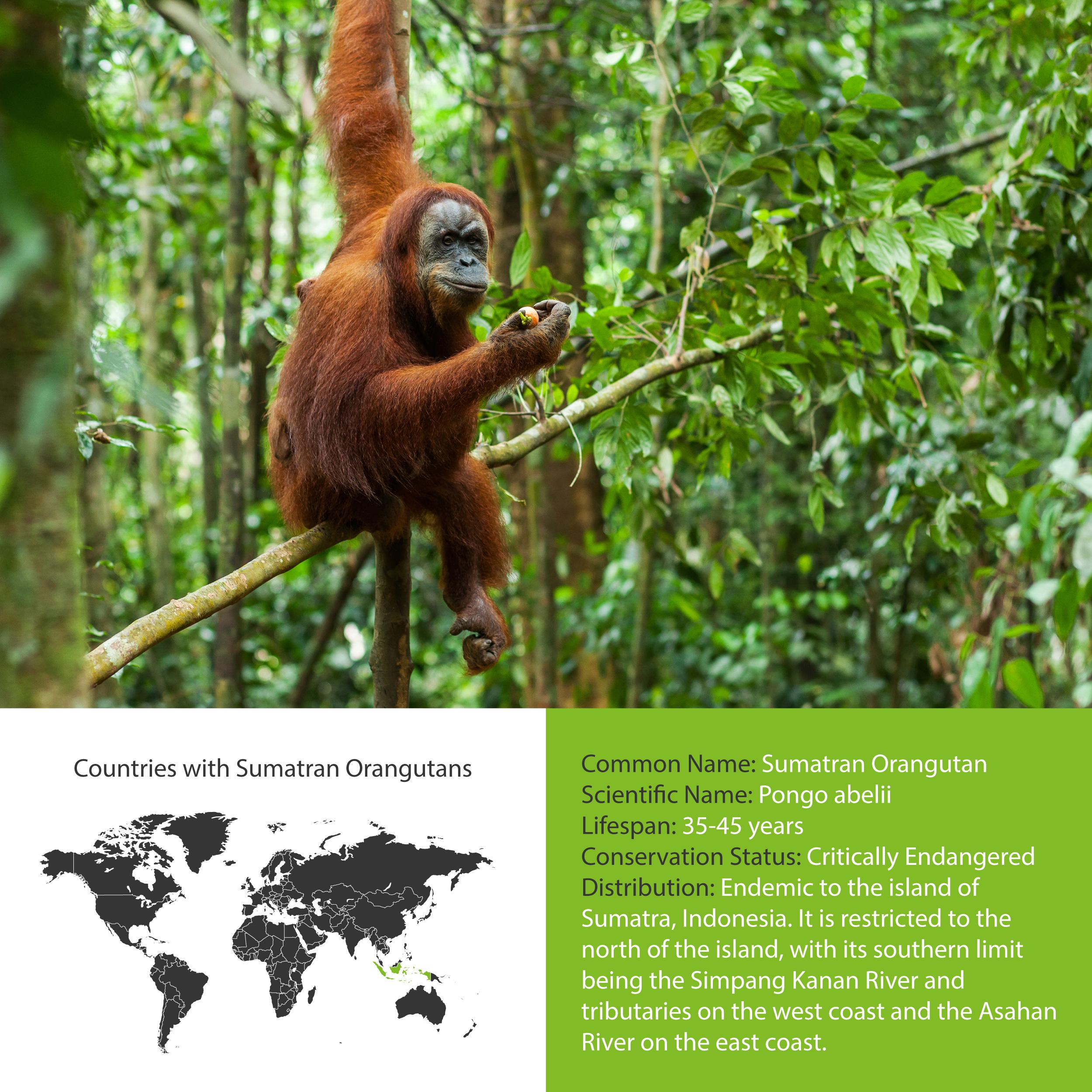 Sumatran Orangutan Distribution